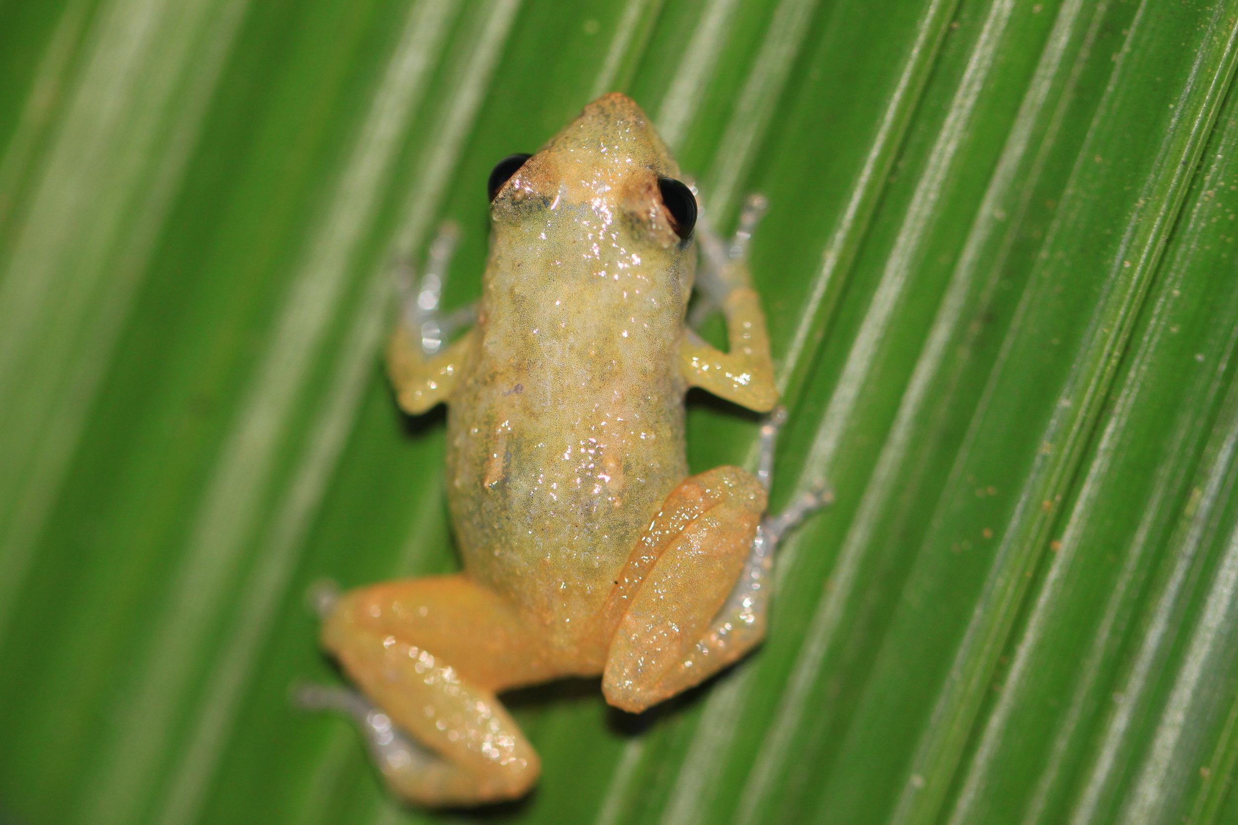 Hyalinobatrachium  glass frog