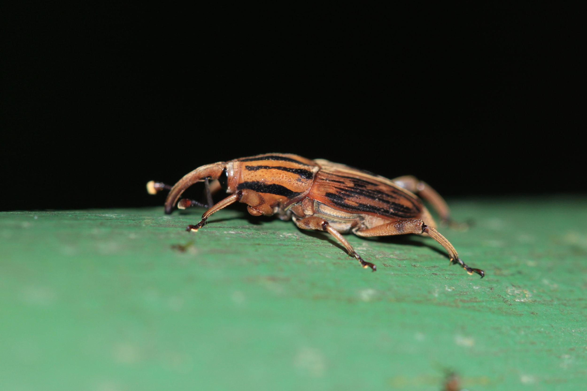 Weevil at night Costa Rica.