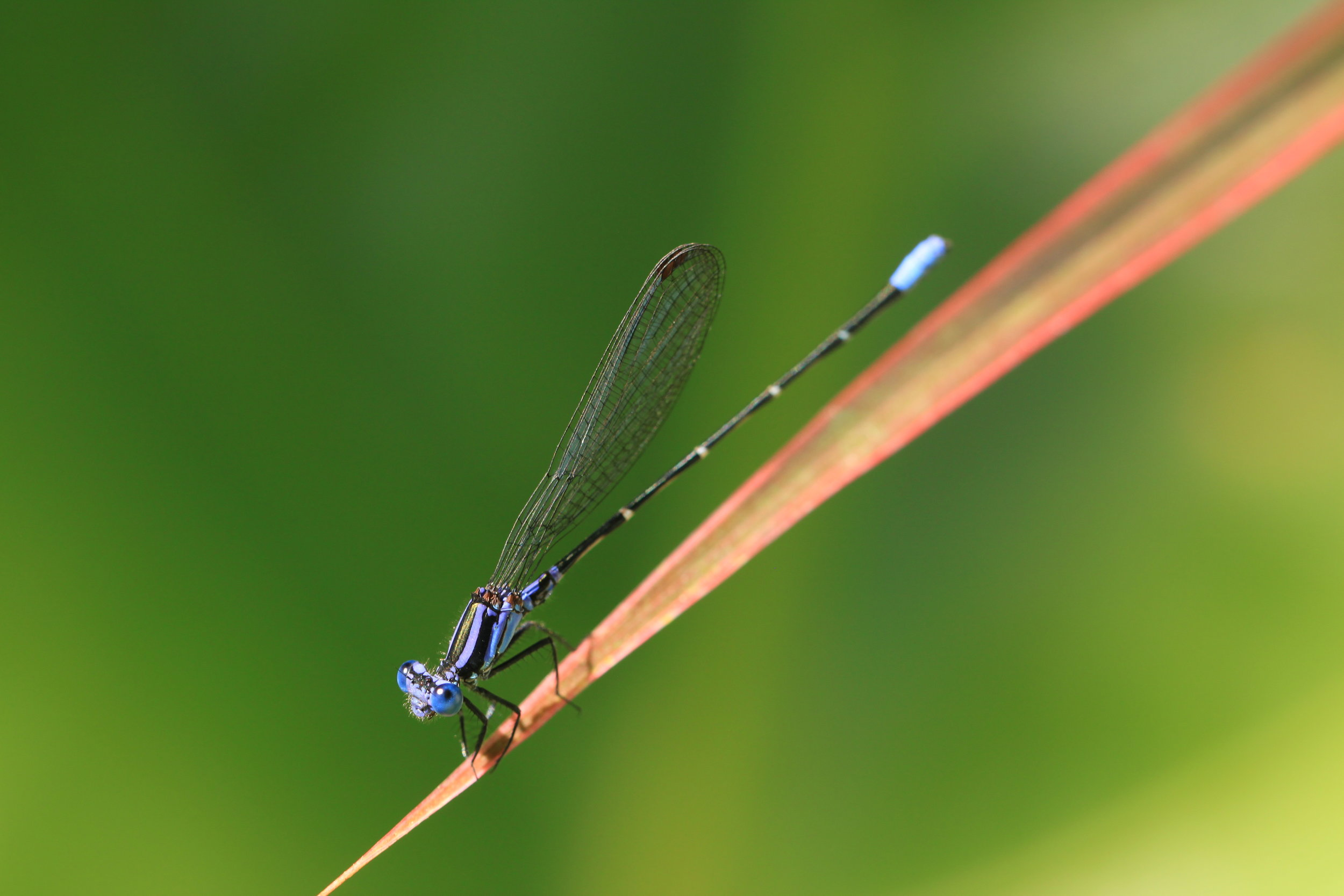A host of damselflies in Manuel Antonio, Costa Rica.