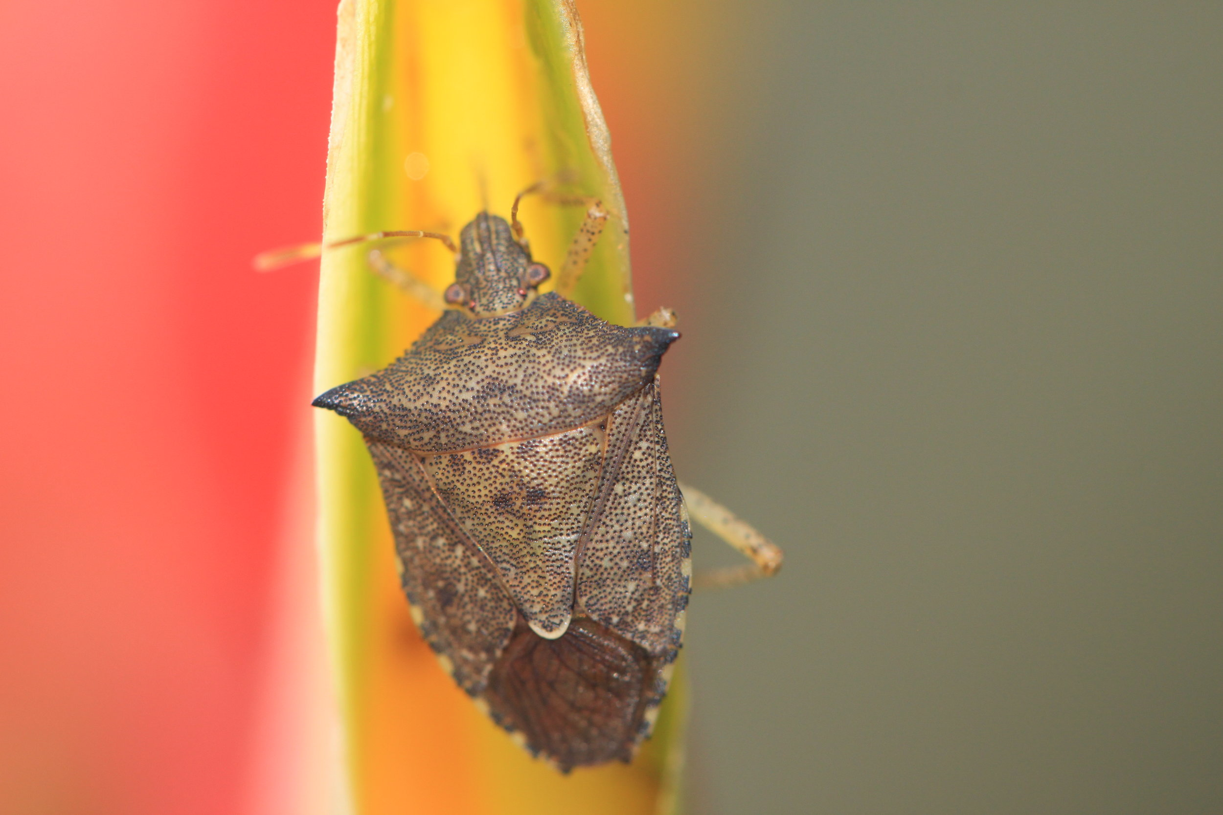 Stink bug, Manuel Antonio, Costa Rica.