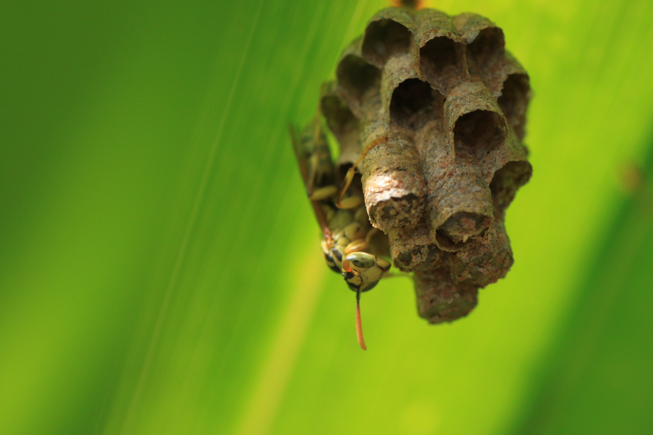Paper wasp in Manuel Antonio, Costa Rica.