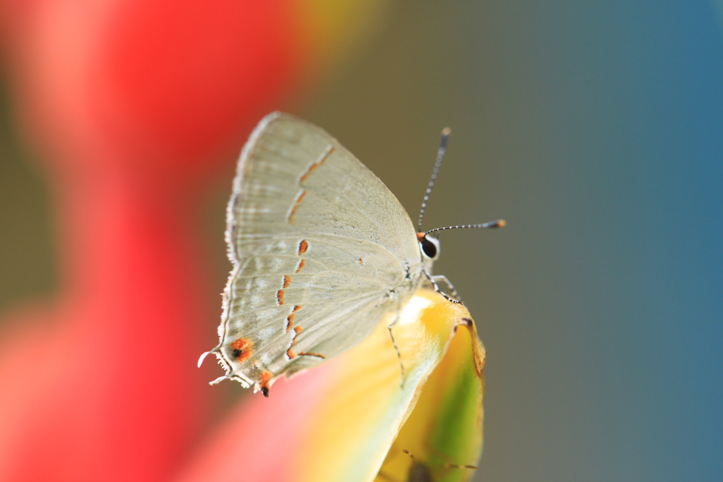 A hairstreak takes a rest on a heliconia.