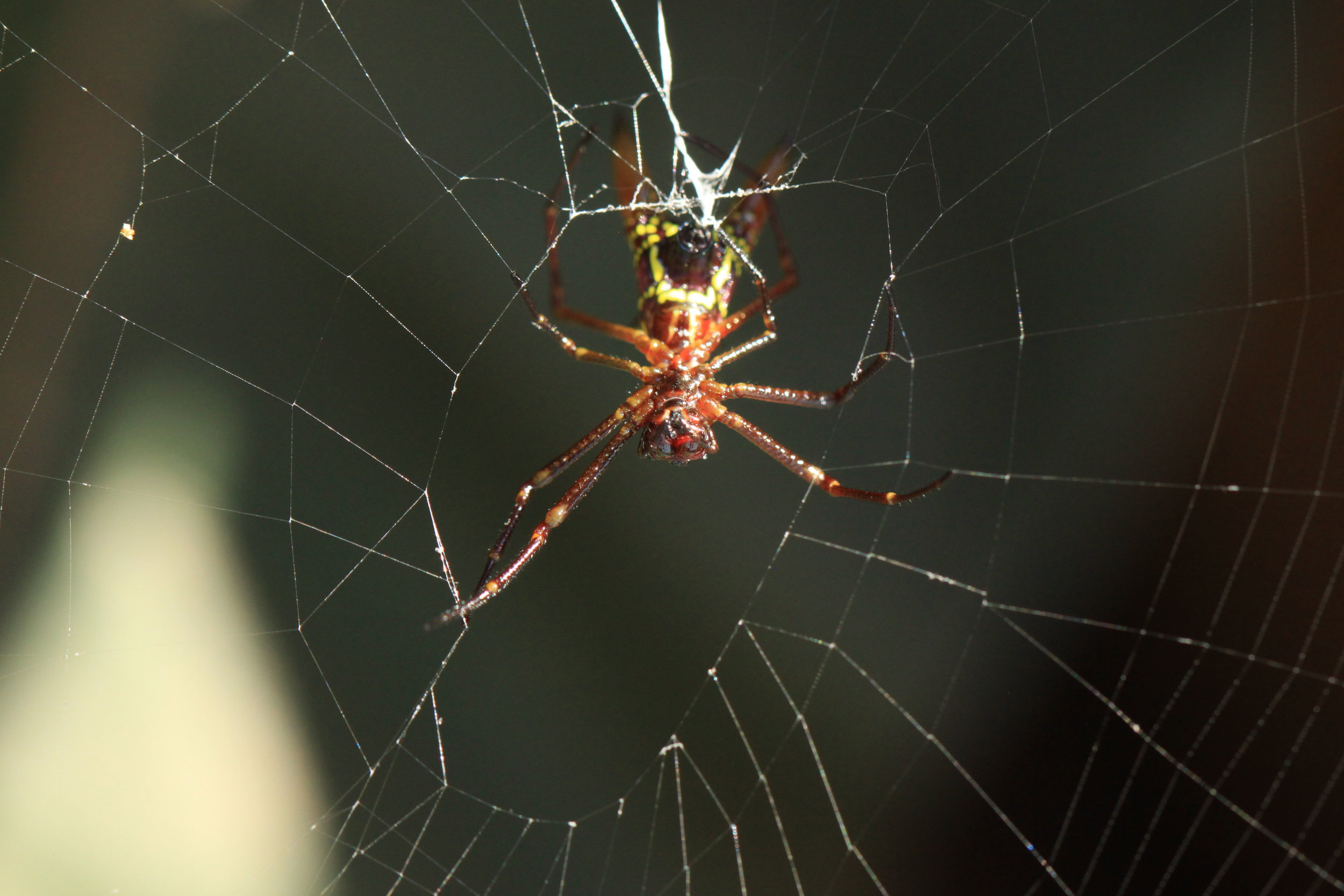 arrowhead-spider-spinning-web.jpg