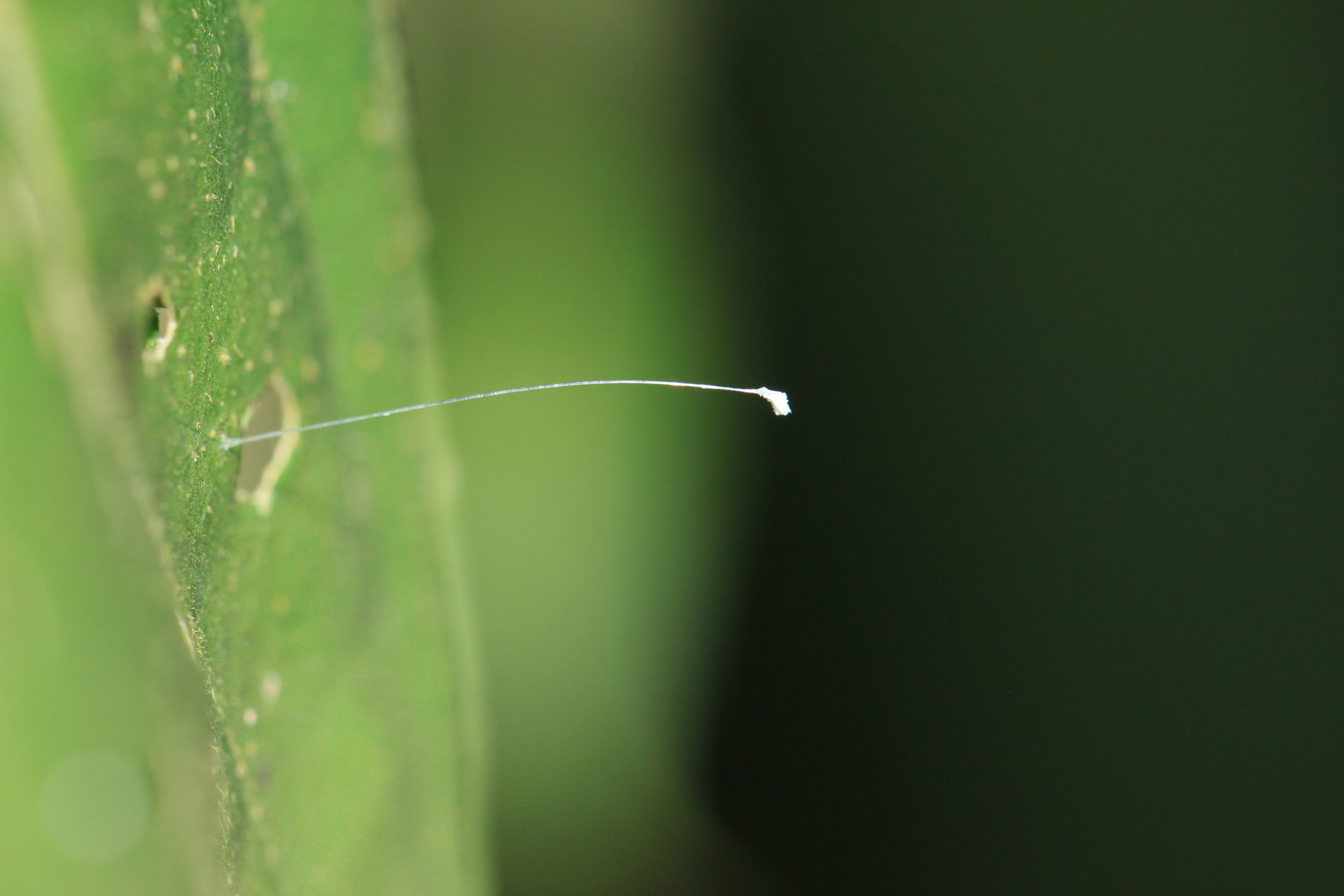 The delicate egg of a lacewing larvae on a leaf. Manuel Antonio, Costa Rica.