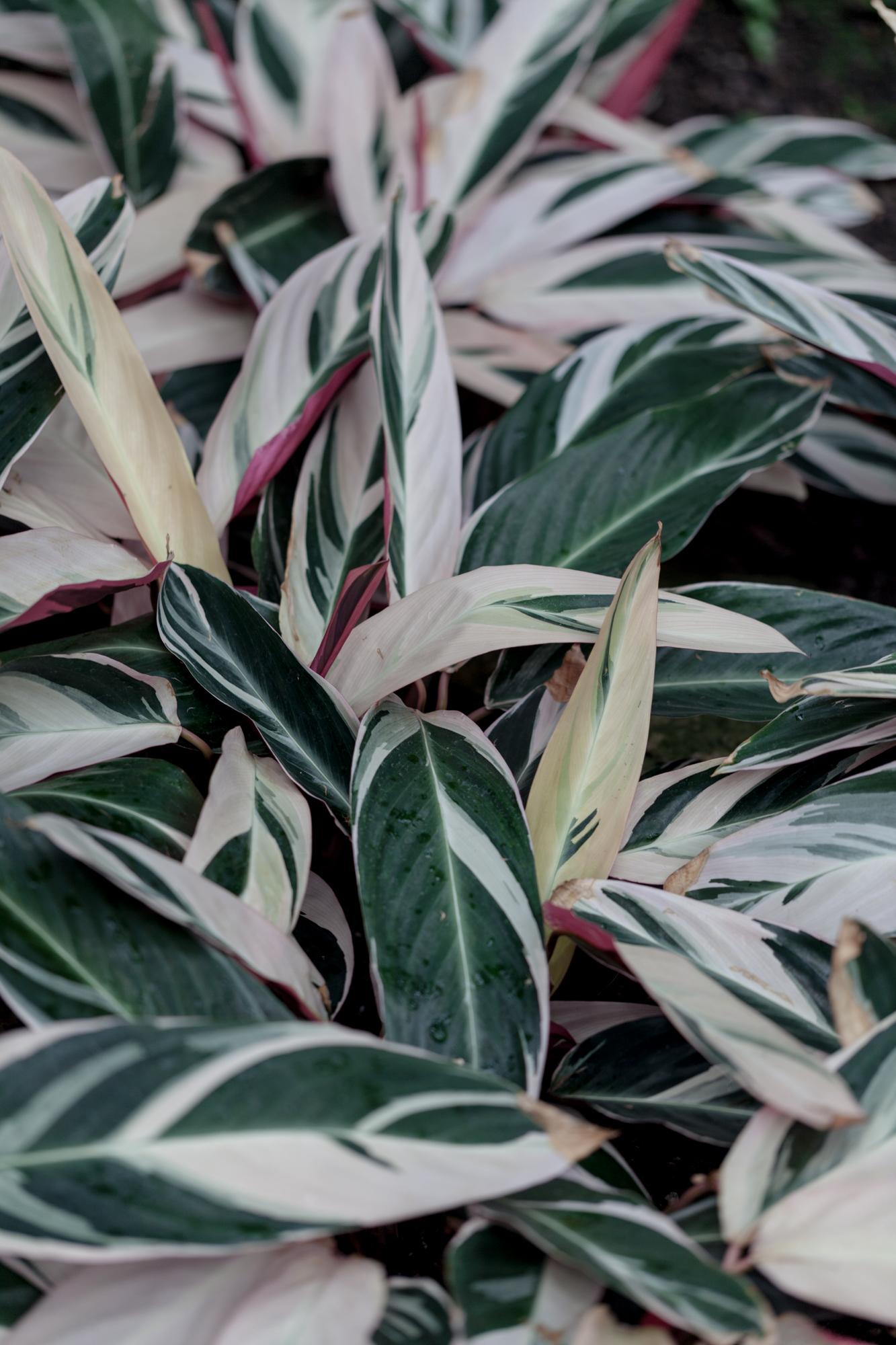 A  Stromanthe stromanthoides  'Triostar', which is one of my favorite prayer plants.