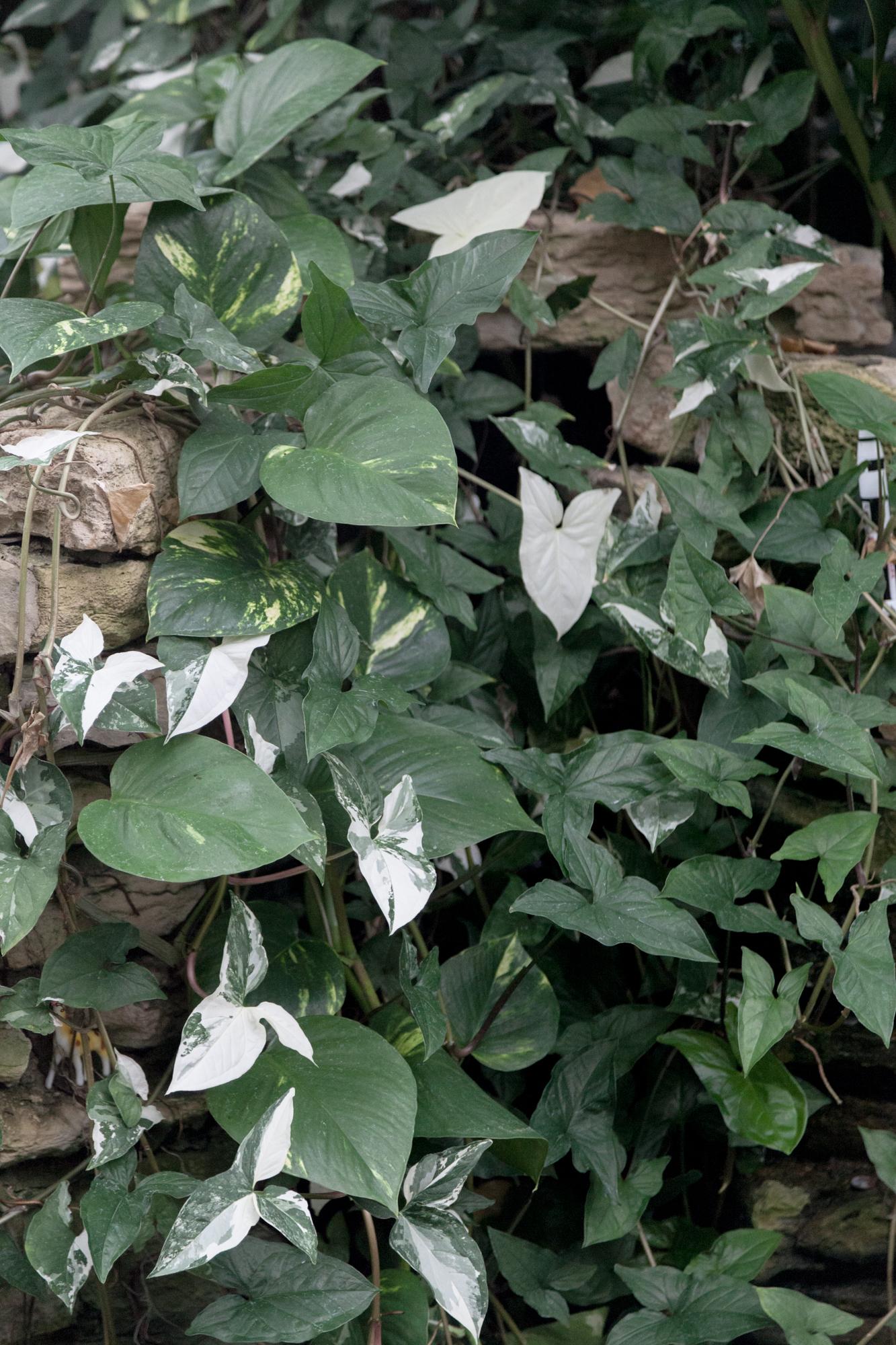 Syngonium podophyllum albo-variegatum growing at the conservatory.