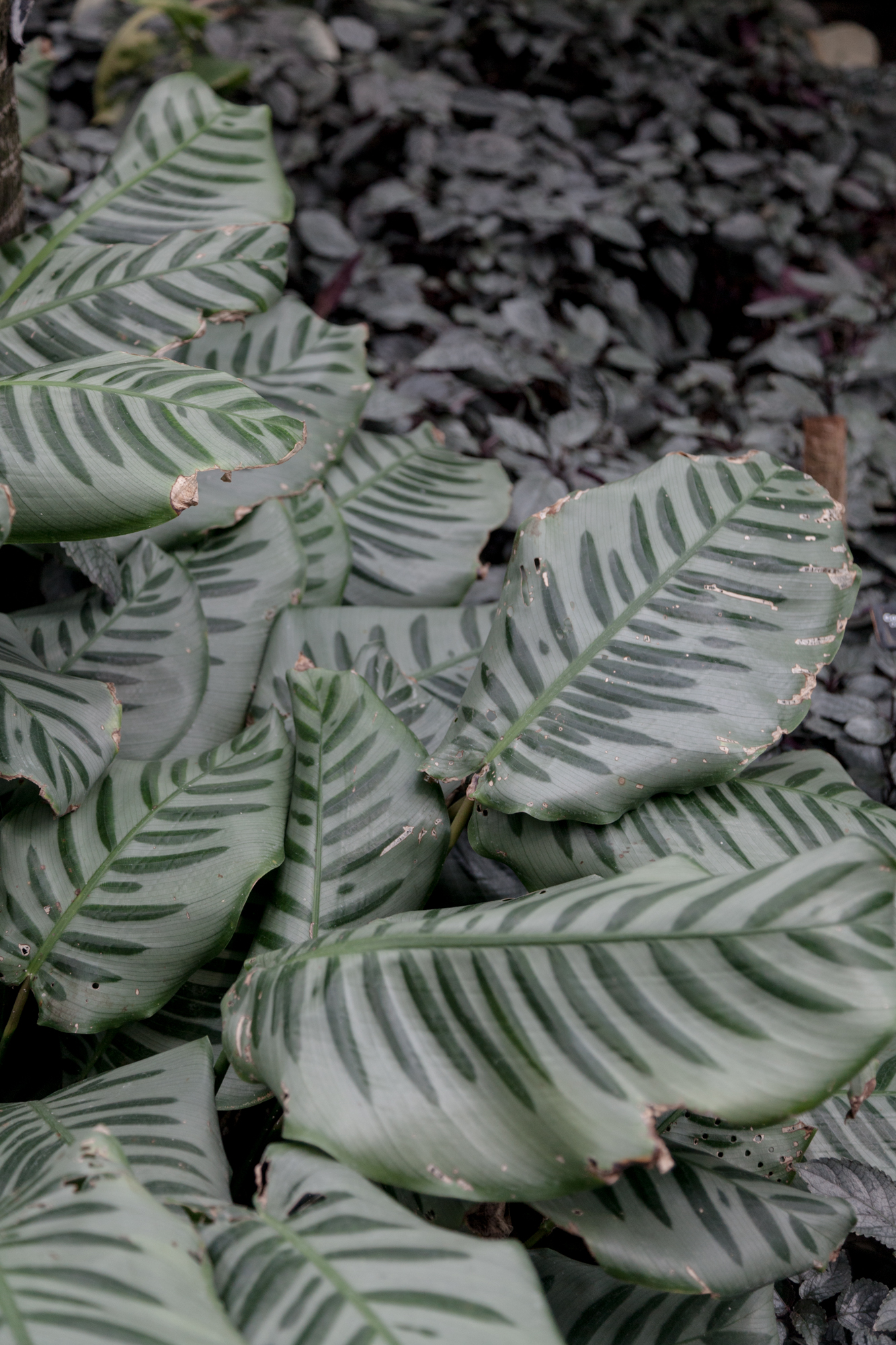 Calathea bella  growing large at the Garfield Park Conservatory.