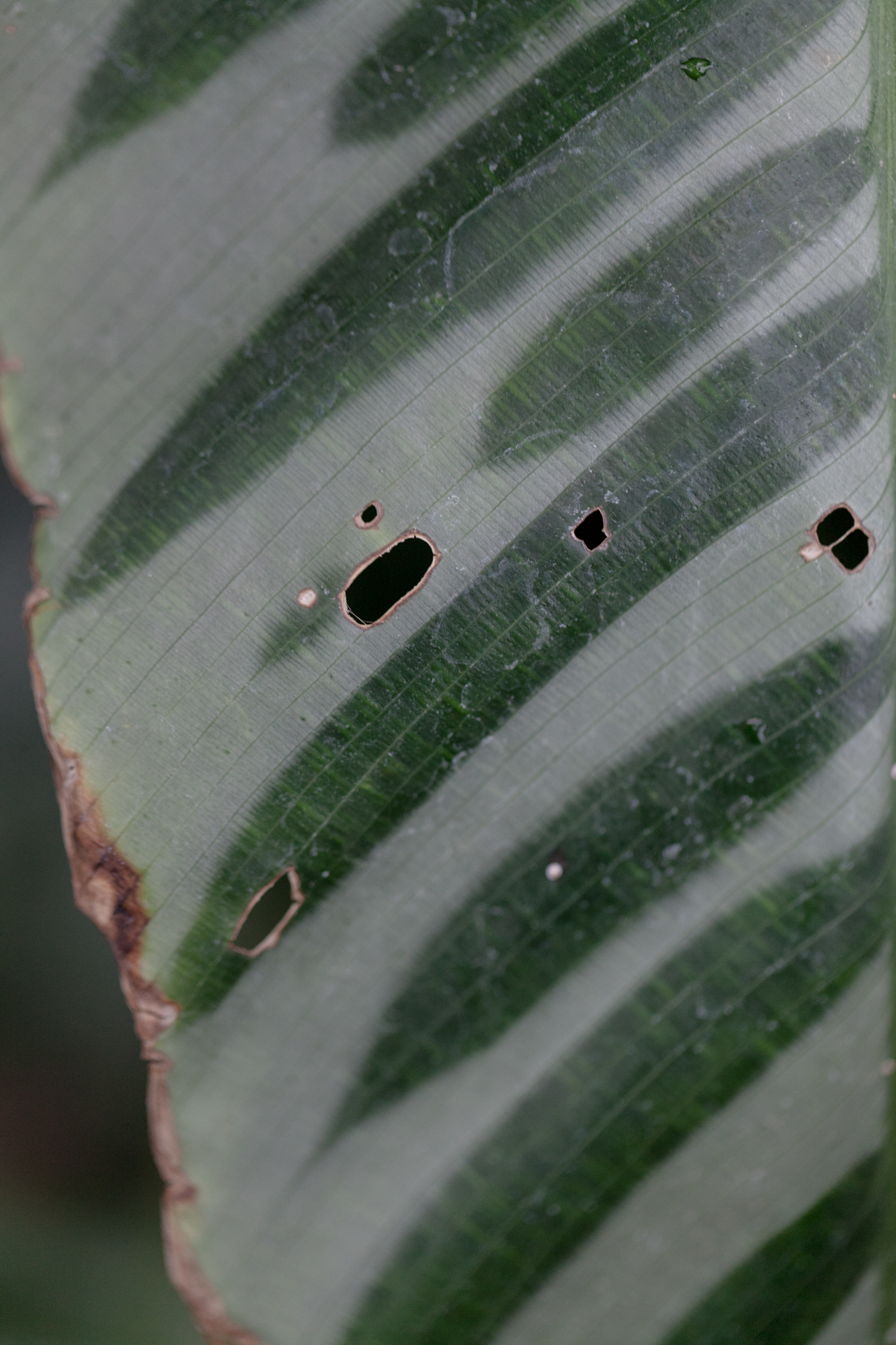 Torn leaves, Calathea bella