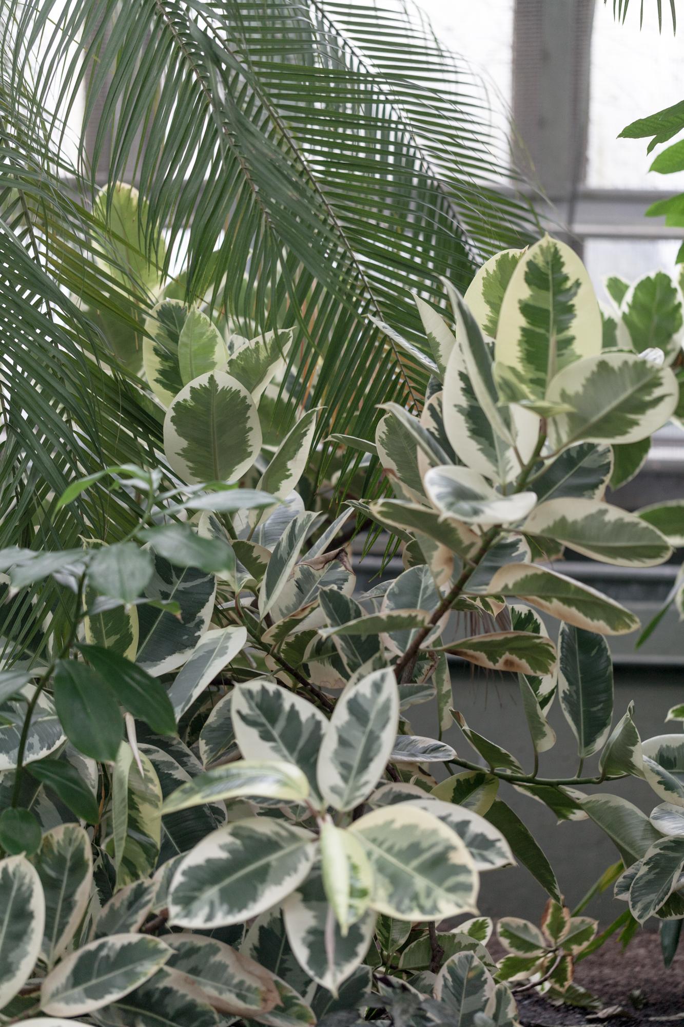 A  Ficus elastica variegata  at the Garfield Park Conservatory.