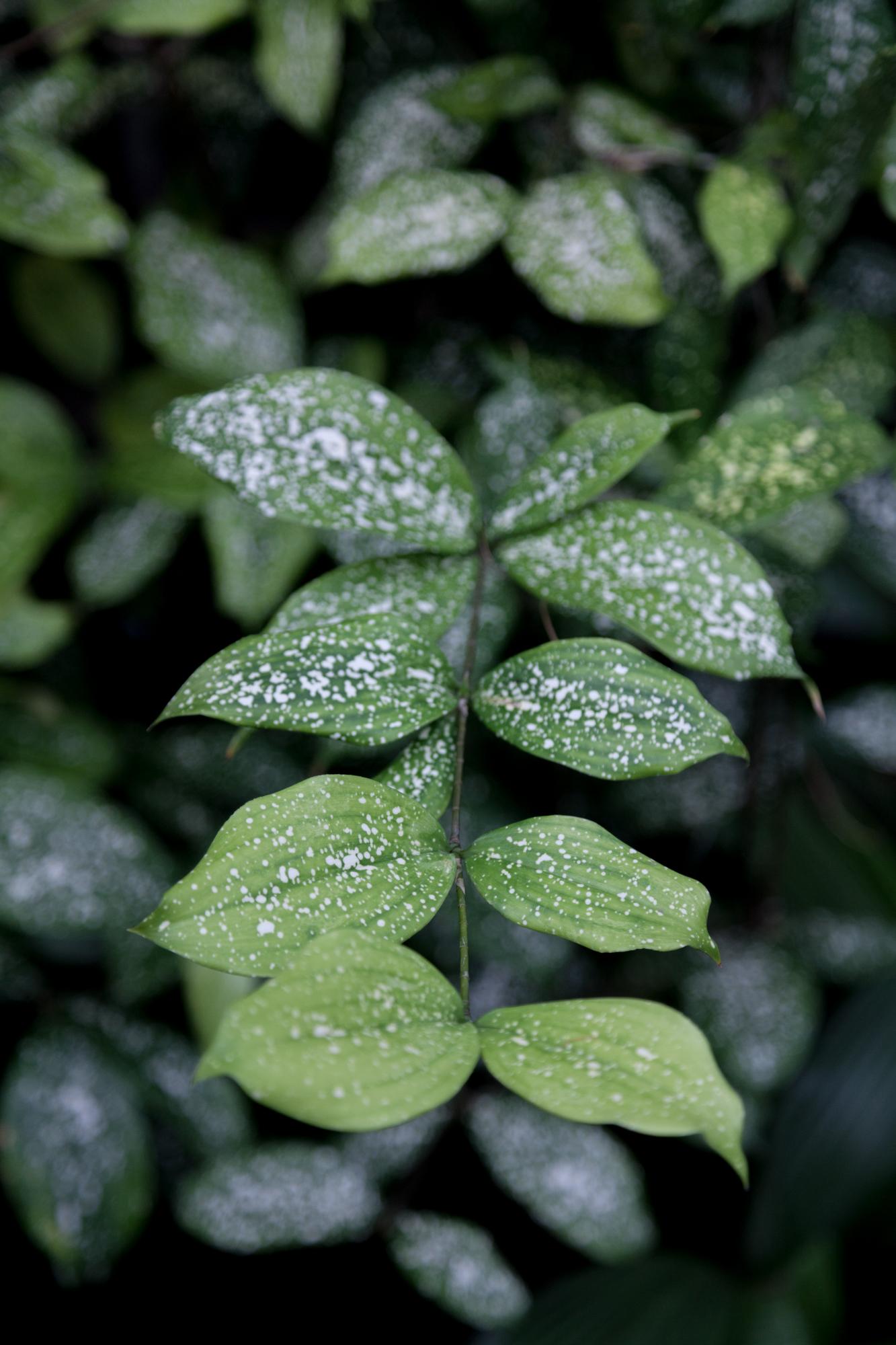 Gold-dust plant ( Aucuba japonica 'Variegata' )