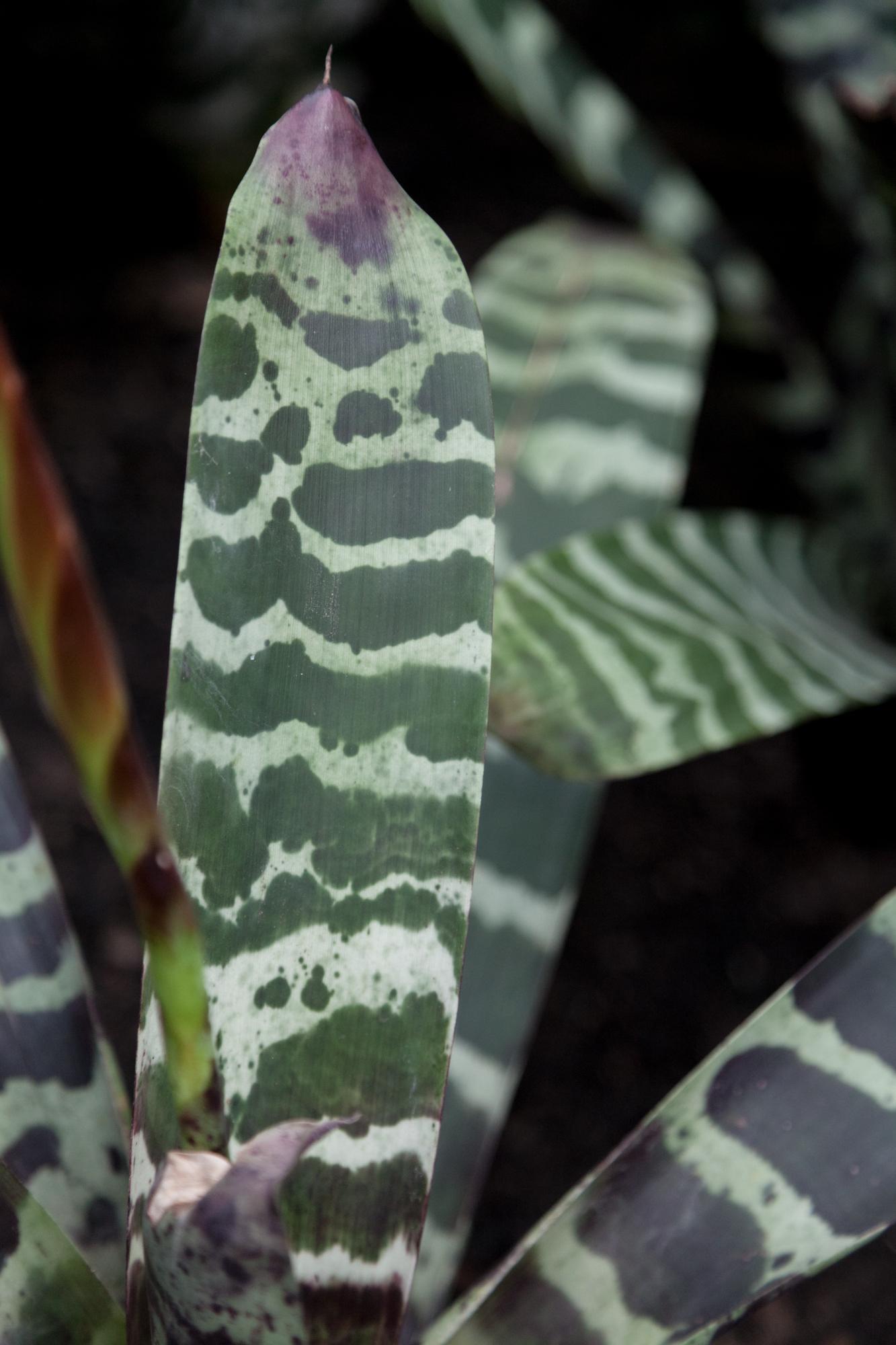 Bromeliad ( Vriesae fenestralis )