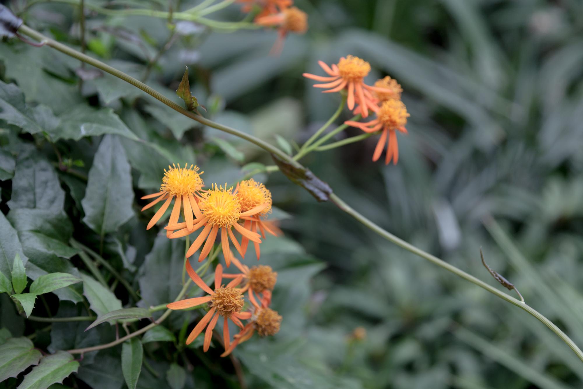 orange-flowers-Garfield-Park-Conservatory.jpg