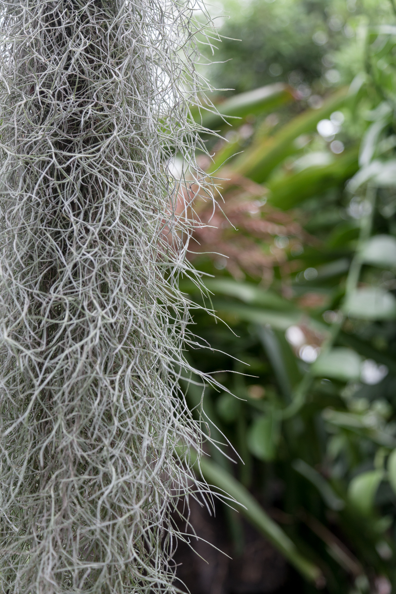 Tillandsia usneoides  or Spanish moss is a type of epiphytic plant commonly found throughout the southern U.S. and Central and South America.