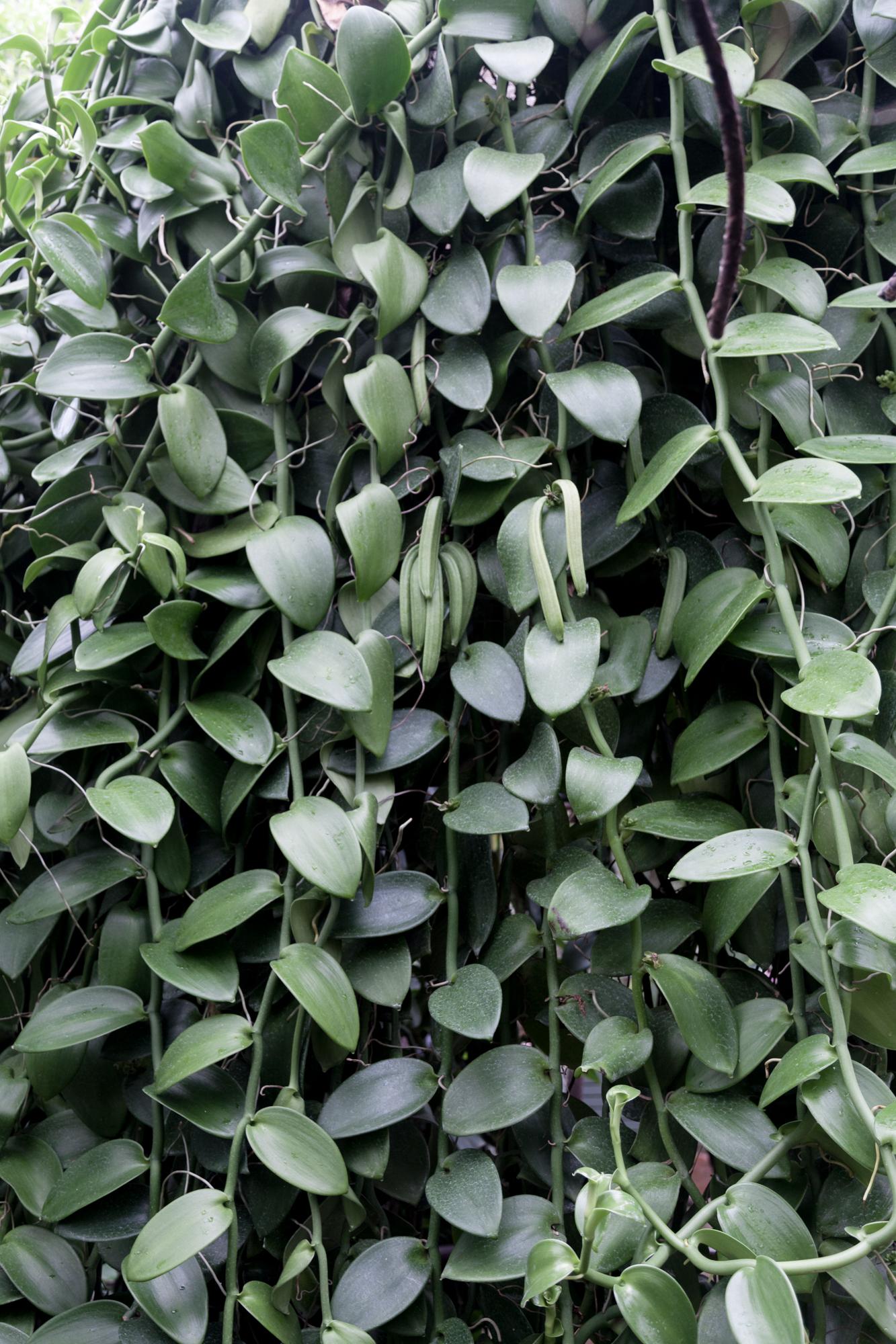 A very verdant  Vanilla planifolia  orchid.