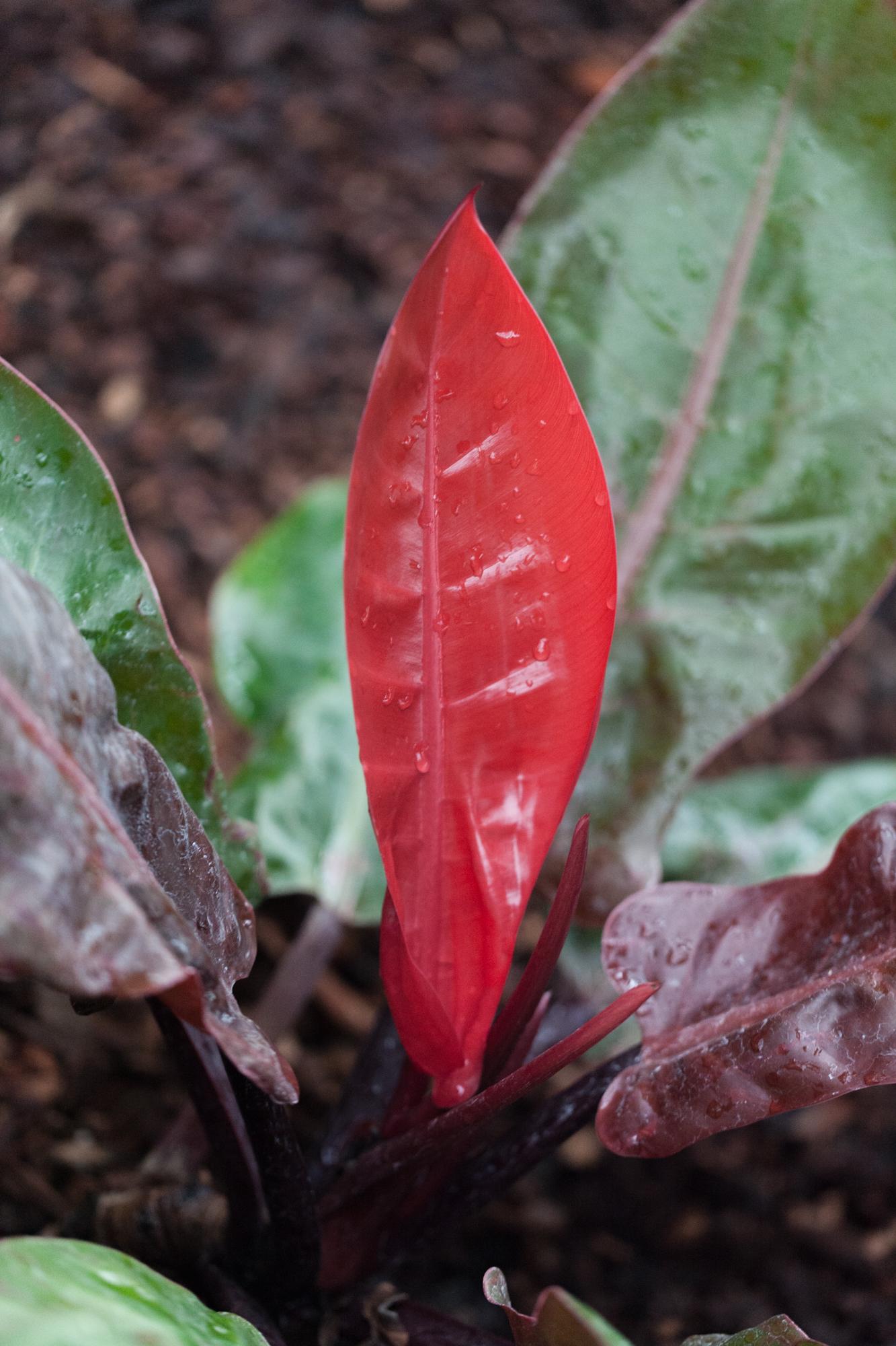 Philodendron 'Mandaianum'