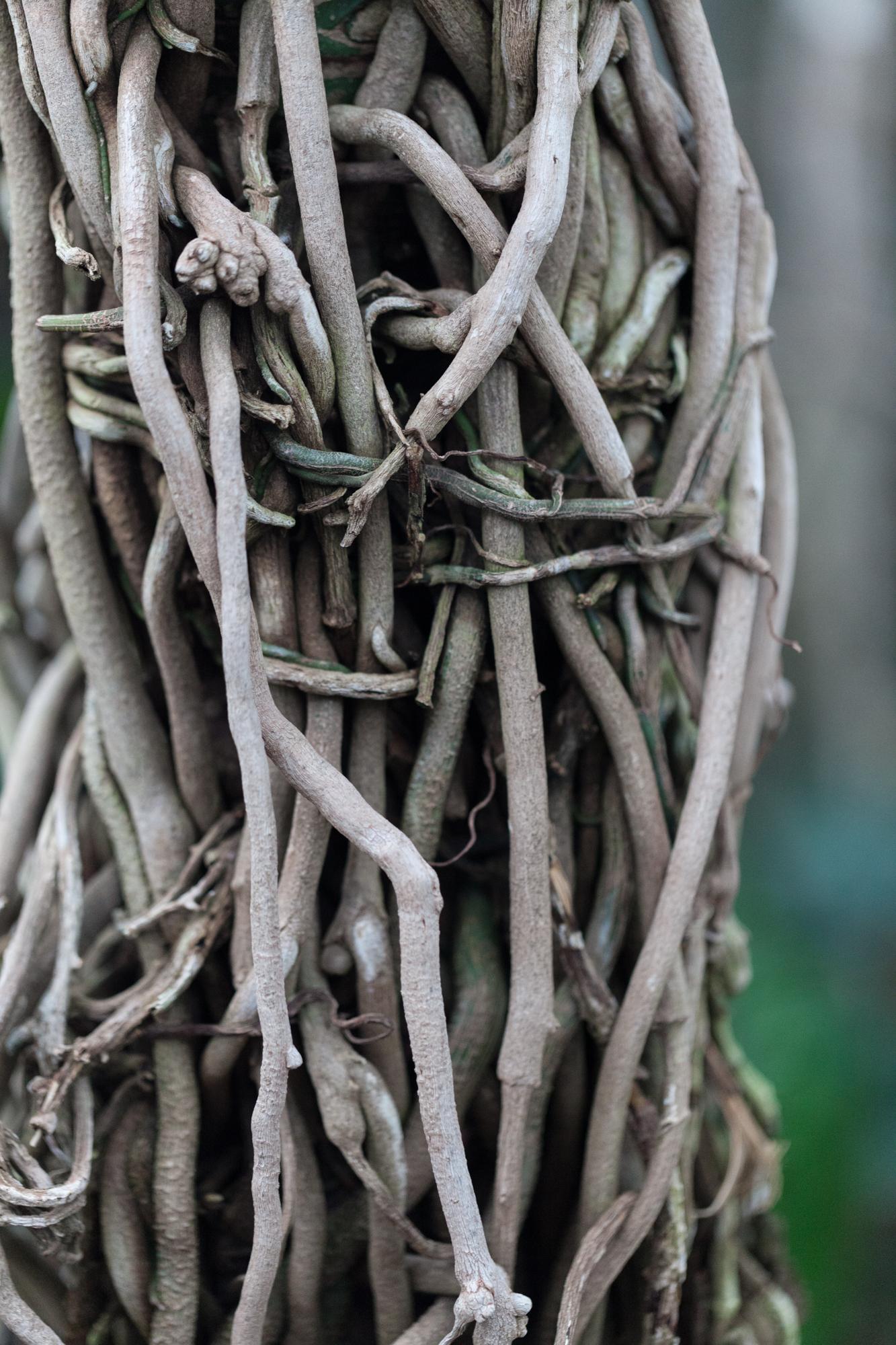 Anthurium houstonianum