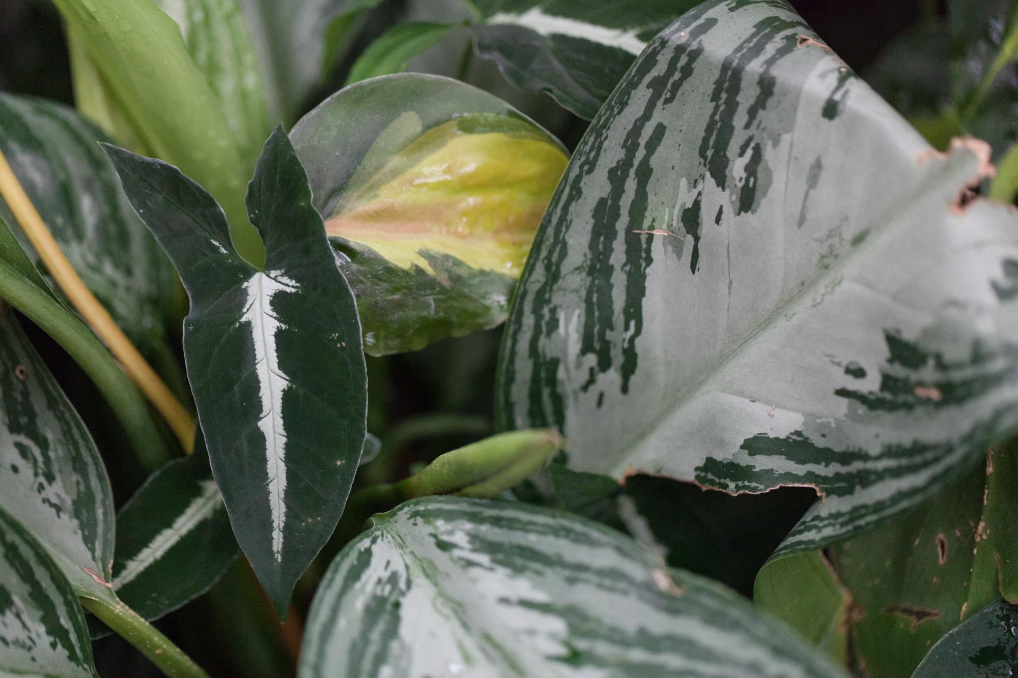 Syngonium rayii  among  Aglaonema