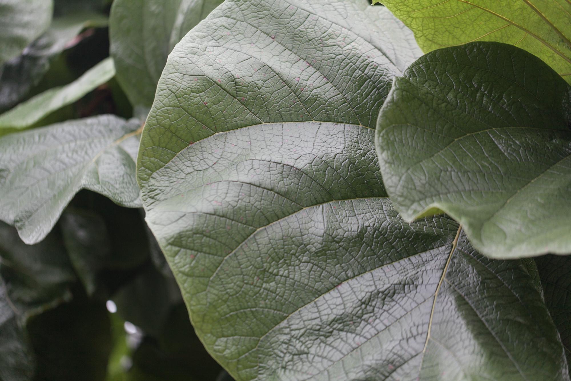 Cocoloba granifolia