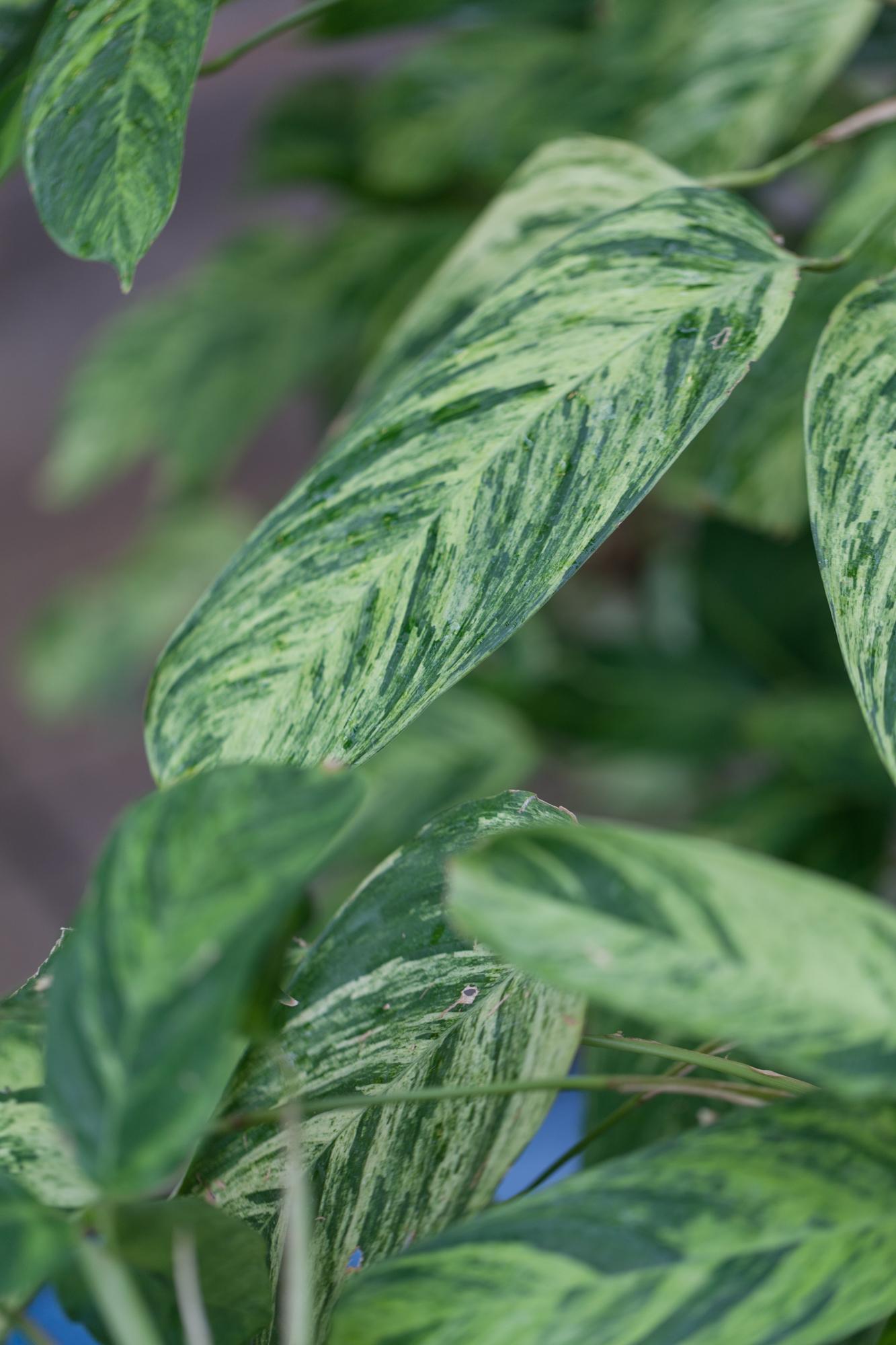 Stromanthoides.jpg