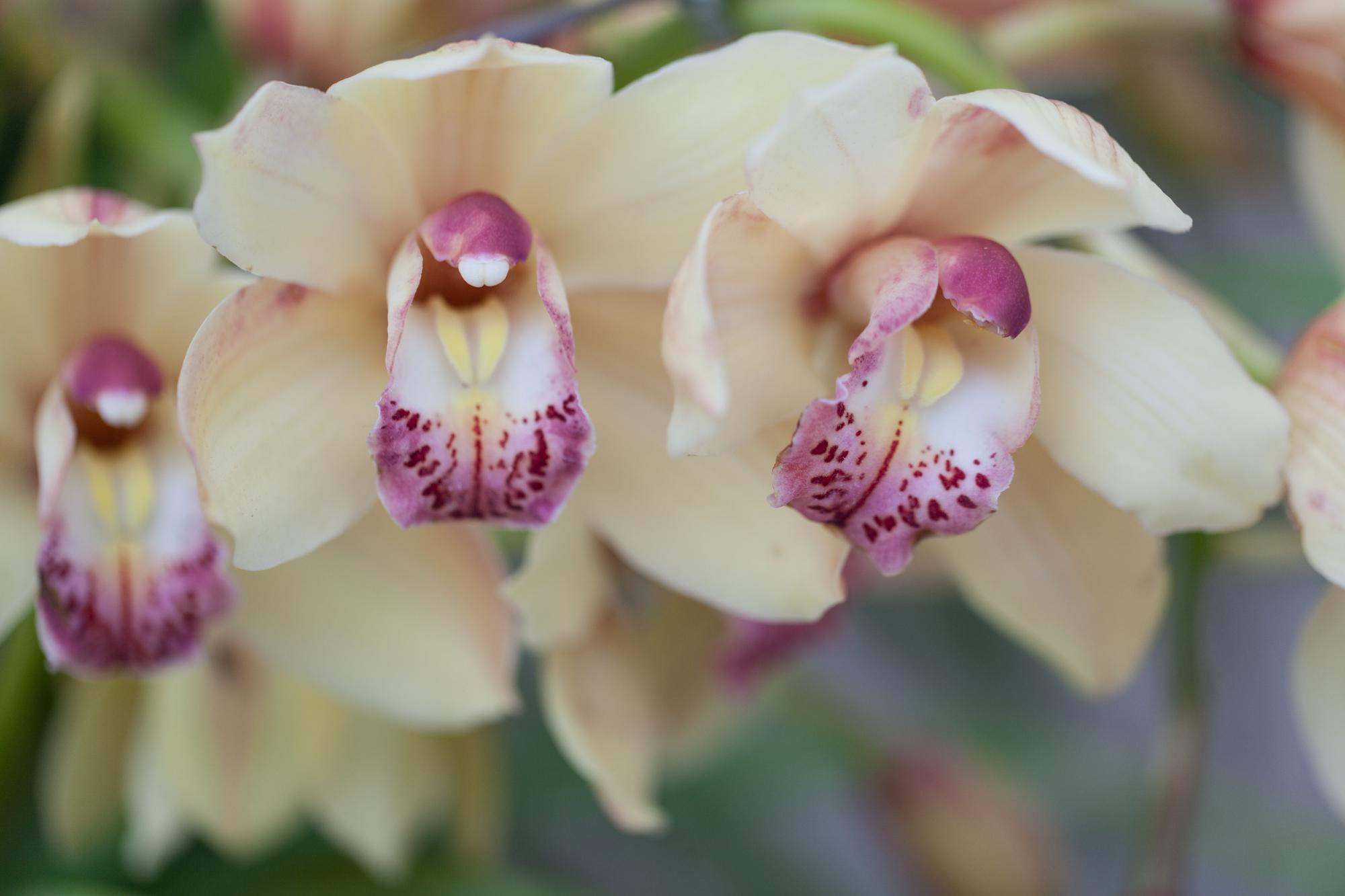 orchids-Garfield-Park-Conservatory.jpg