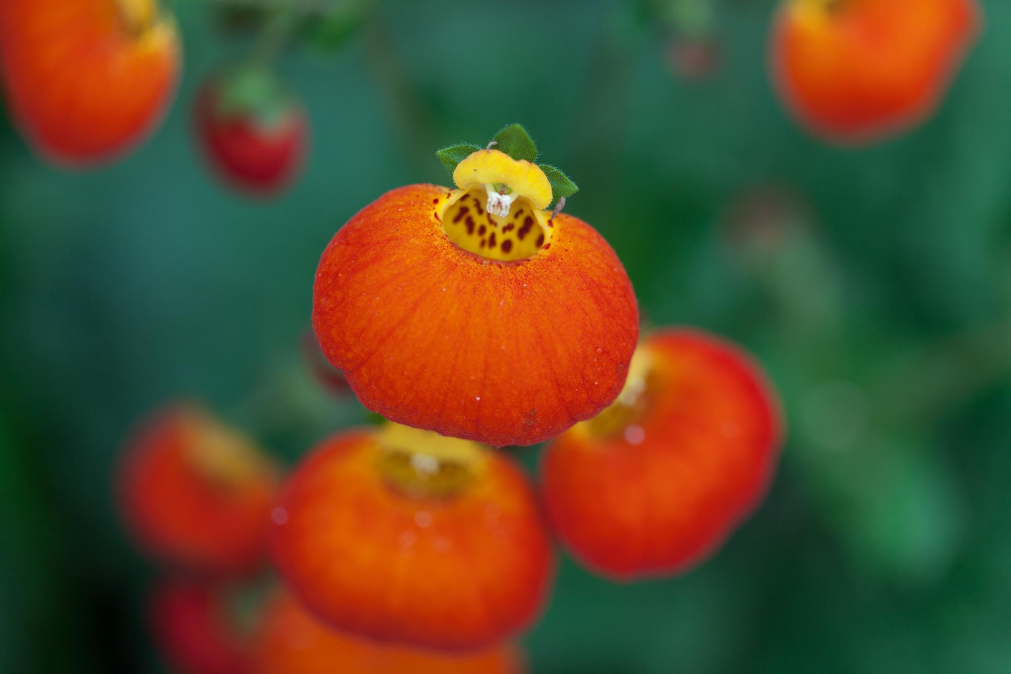 Pocketbush flower at the Garfield Park Conservatory.
