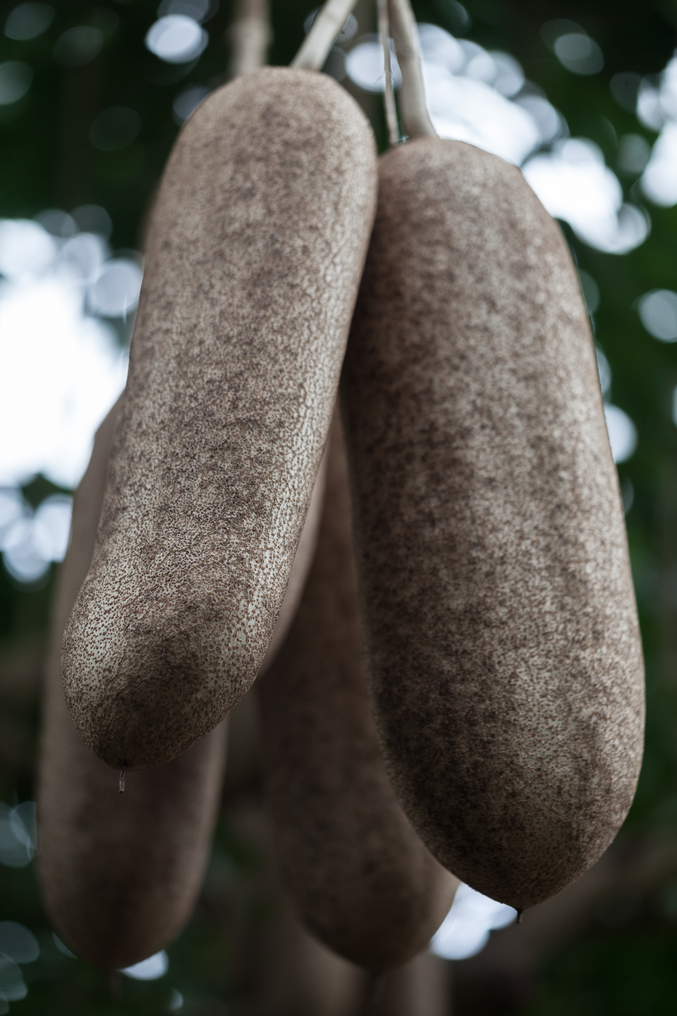 """I was surprised to see a  Kigalia africana, which is aptly named a """"Sausage tree"""". I had only seen these growing native in Mozambique, where I harvested them."""