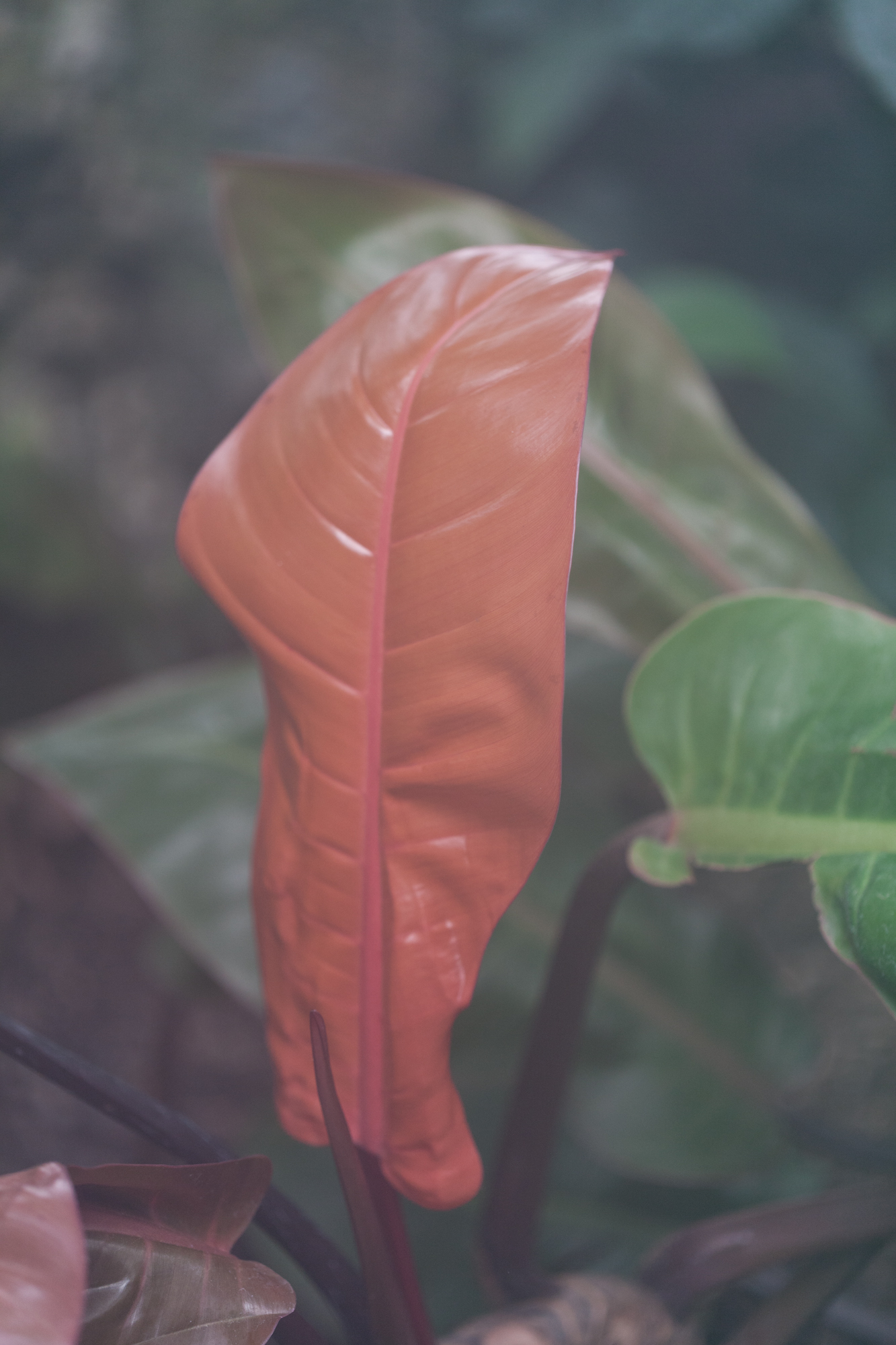 Red Philodendron under the haze and humidity of the Lincoln Park Conservatory
