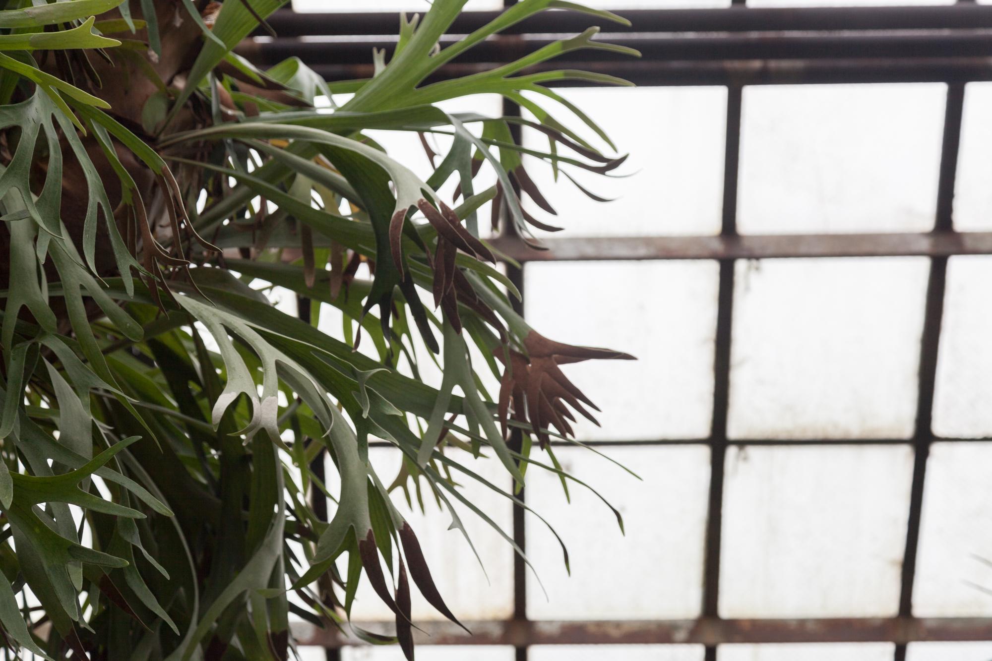 Lincoln-Park-Conservatory-staghorn-fern.jpg