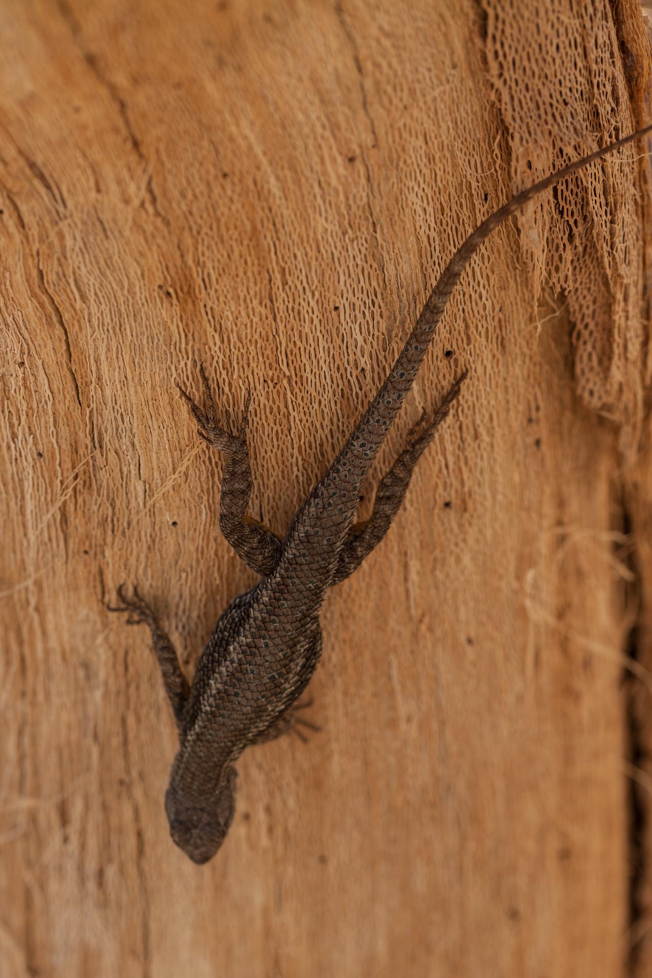 lizard-fullerton-arboretum.jpg