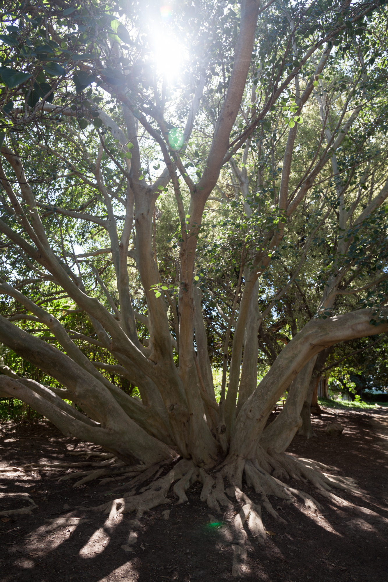 tree-fullerton-arboretum.jpg