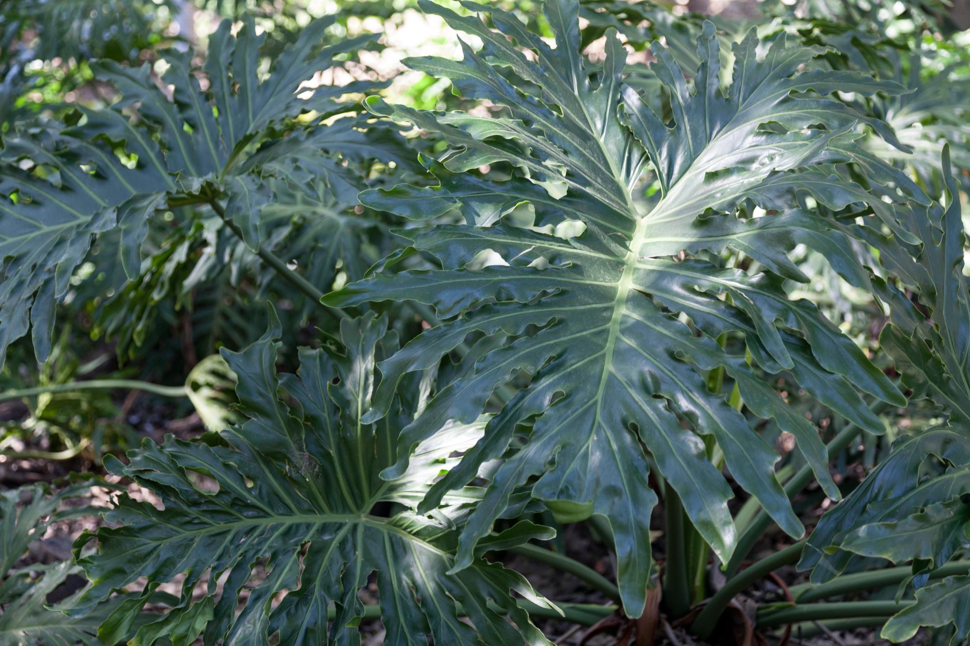 philodendron-fullerton-arboretum.jpg