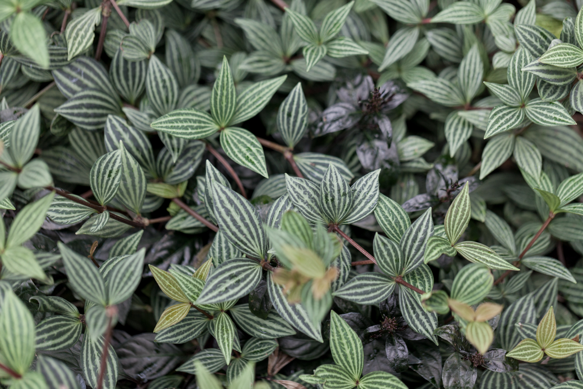 Peperomia  and other popular houseplant species manage well under a balanced fertilizer.