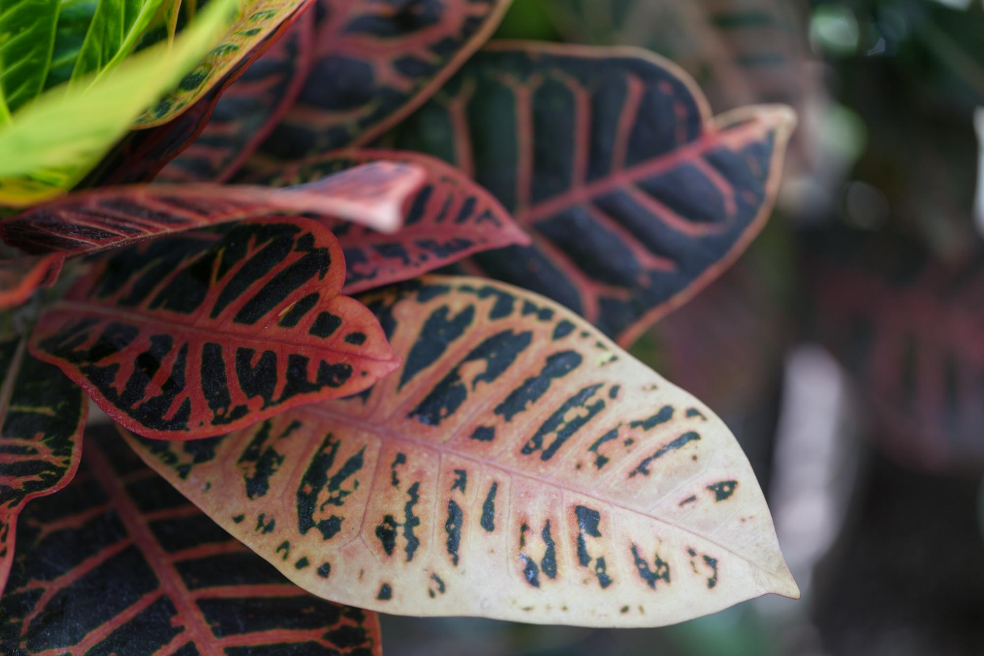The faded colors of a  Croton. Allan Garden Conservatory, Toronto.