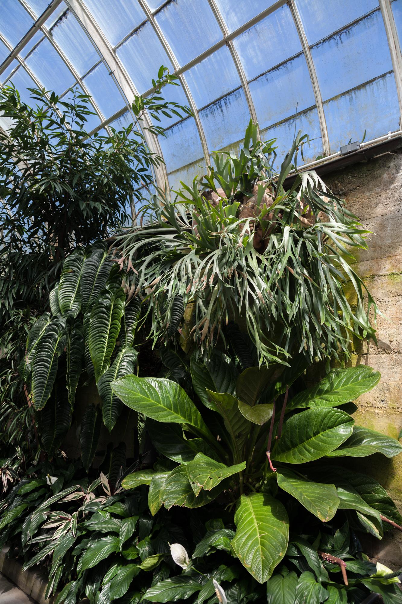 Volunteer-Park-Conservatory-Anthurium-vetchii.jpg