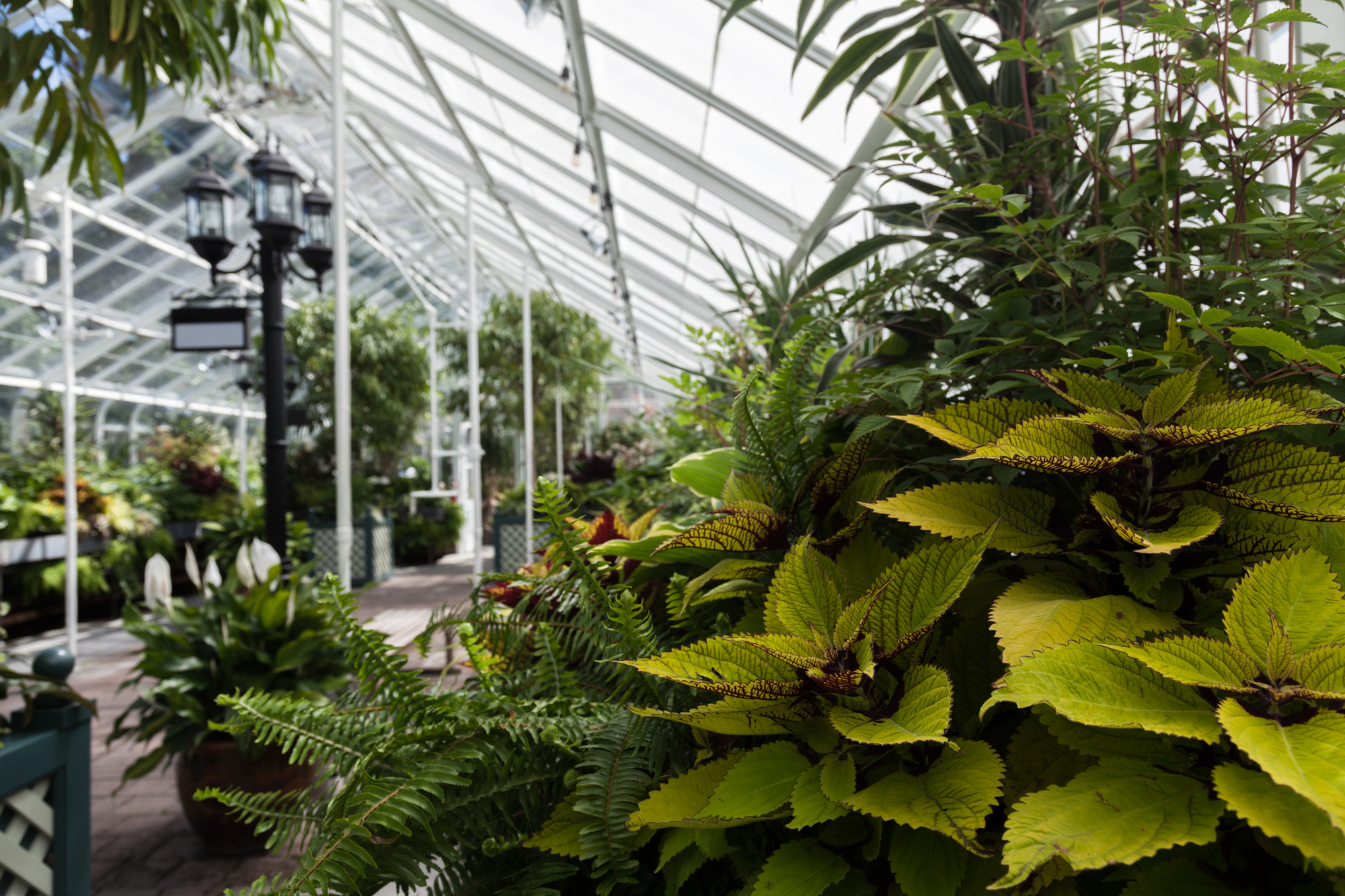 Coleus-Volunteer-Park-Conservatory.jpg