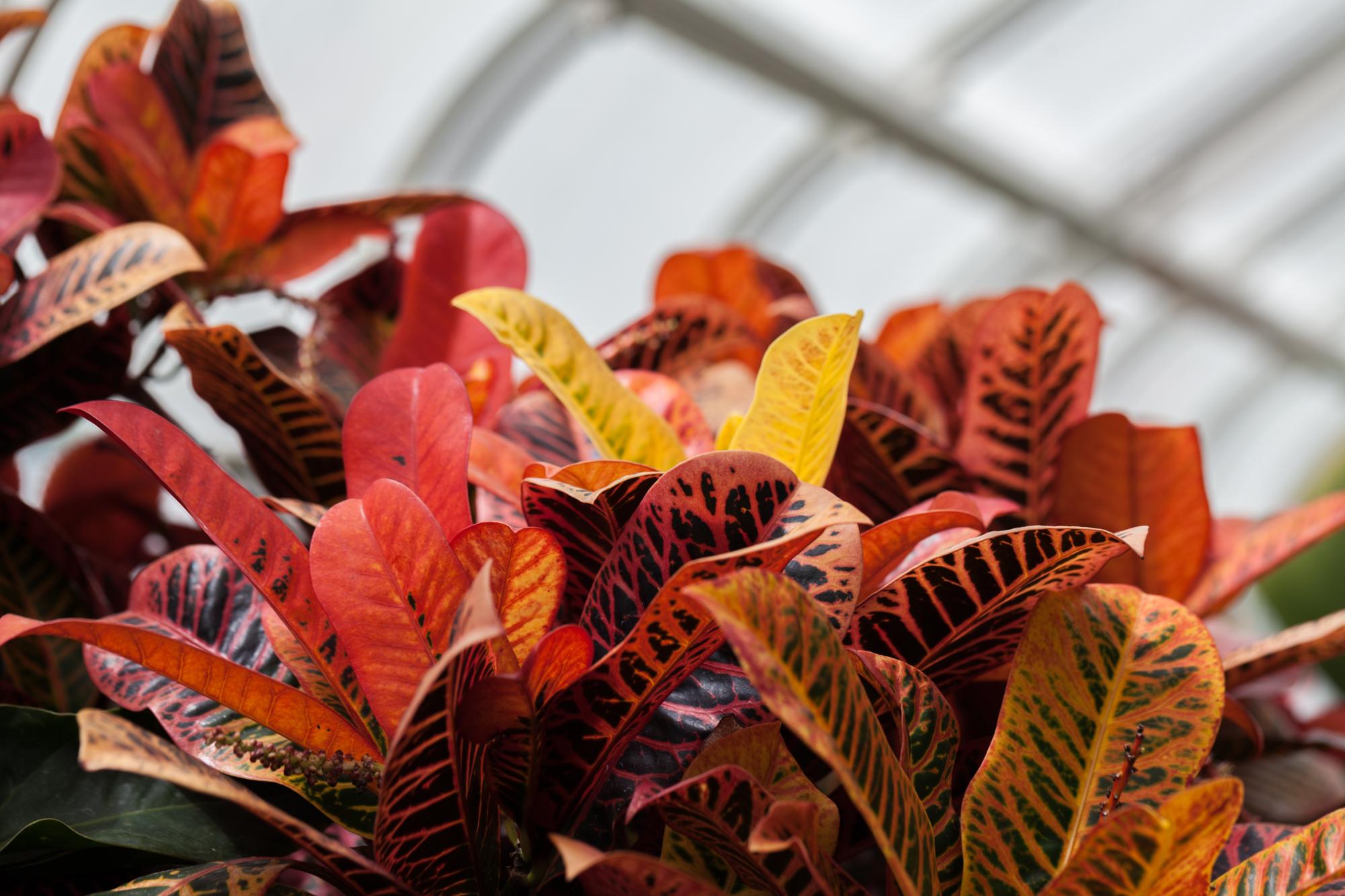 crotons-volunteer-park-conservatory.jpg