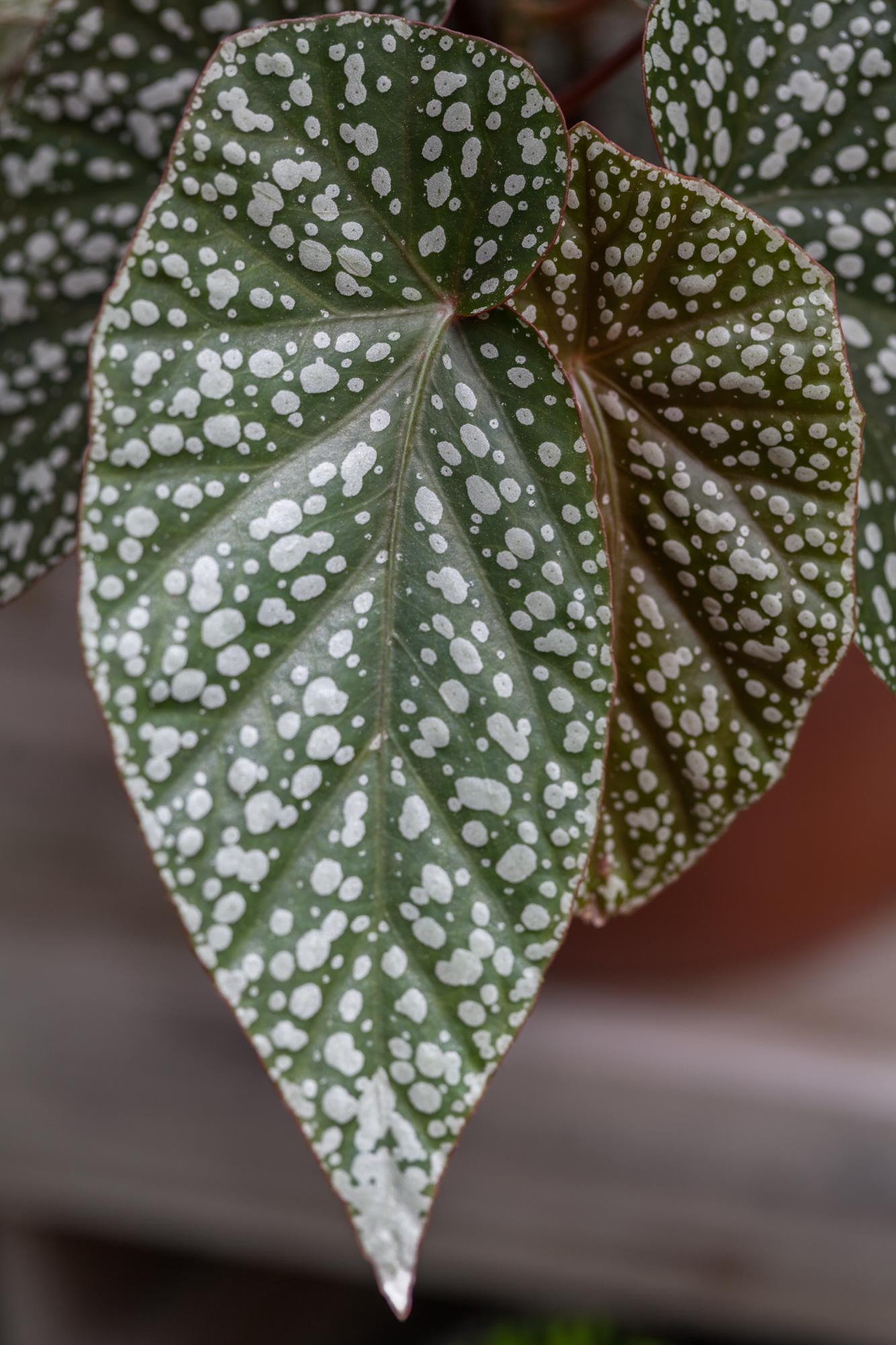 Planting-Fields-Arboretum-Greenhouse-Homestead-Brooklyn-angelwing-begonias.jpg