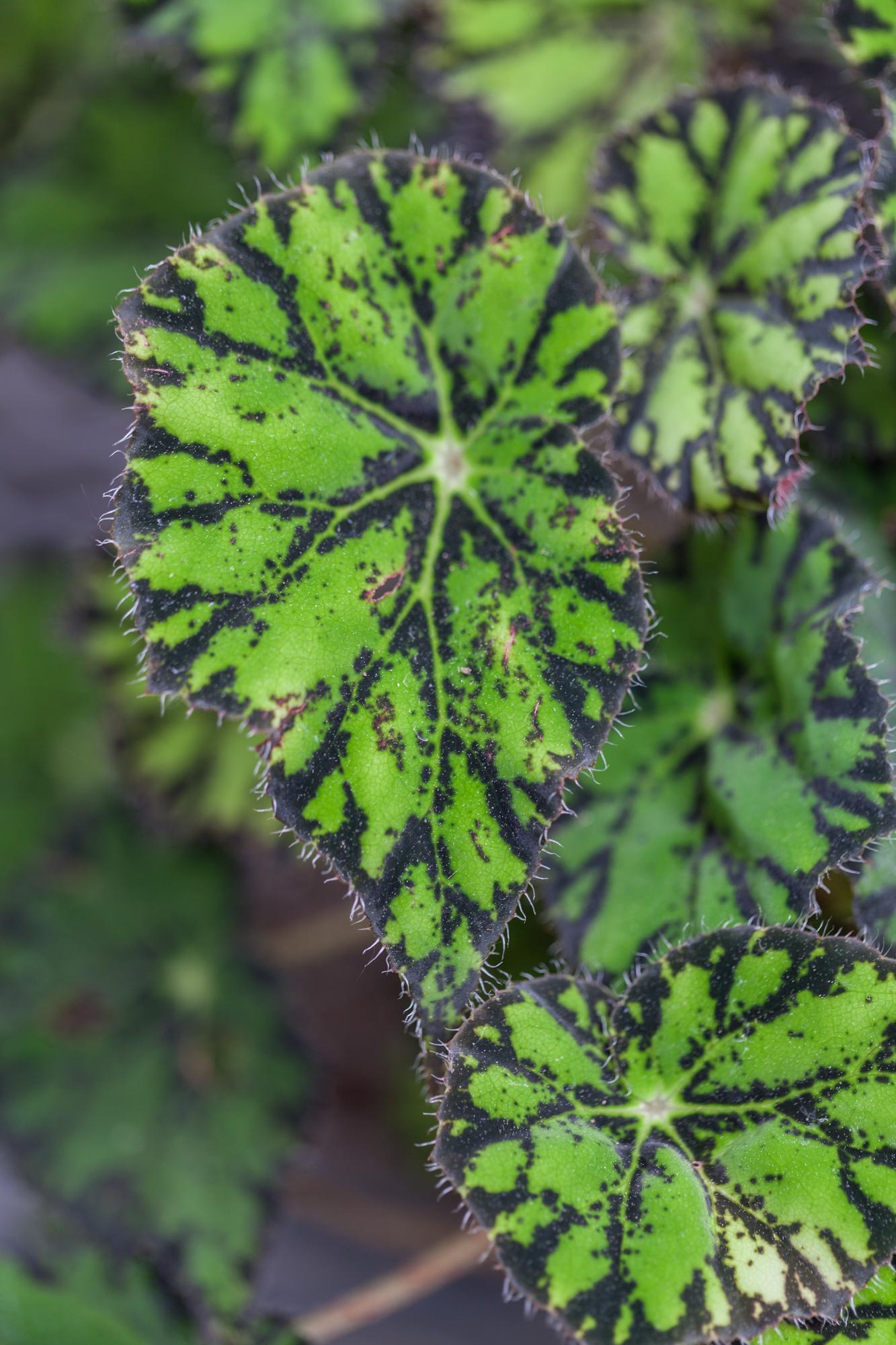 Planting-Fields-Arboretum-Greenhouse-Homestead-Brooklyn-begonia.jpg