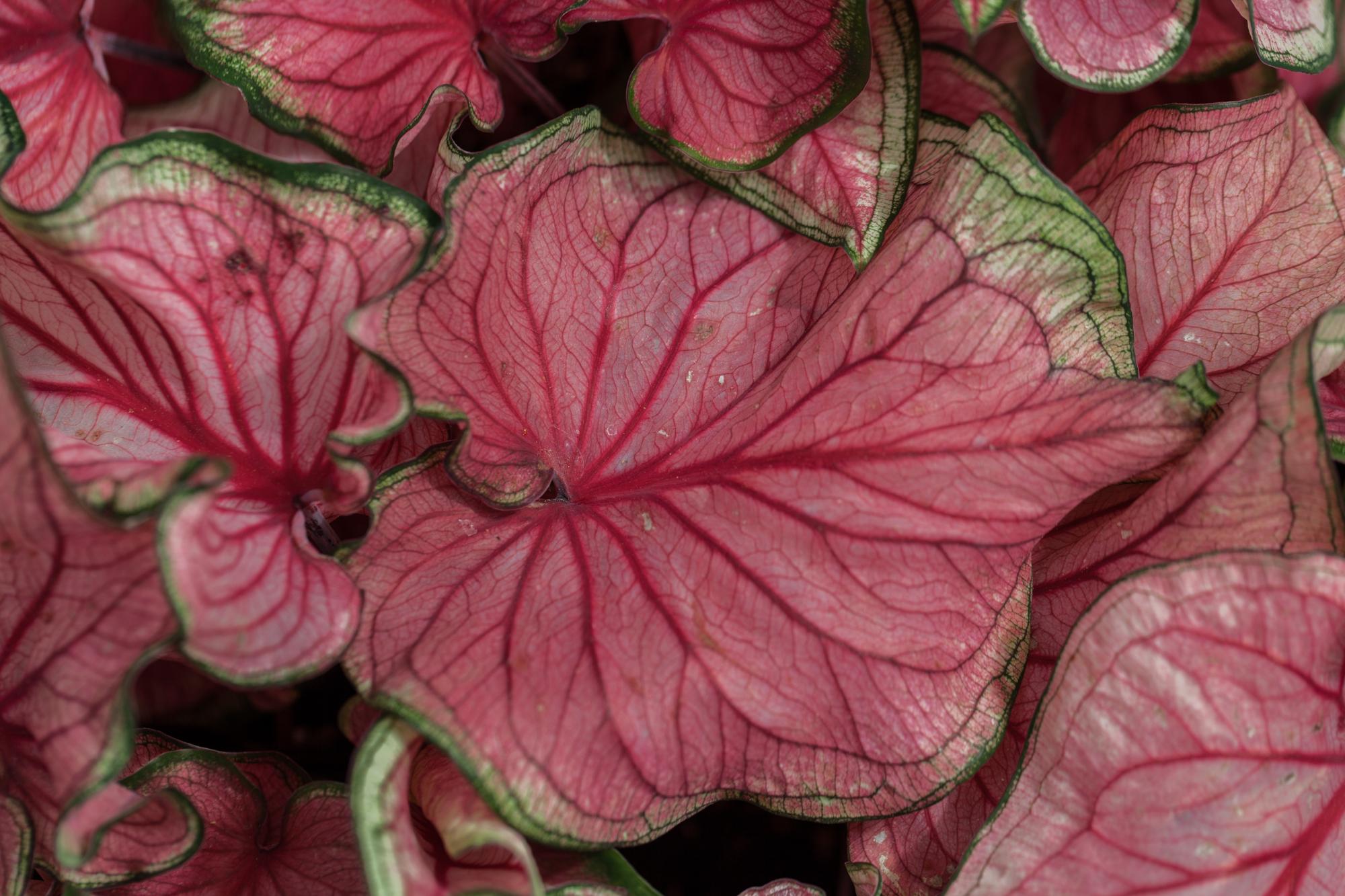 Planting-Fields-Arboretum-Greenhouse-Homestead-Brooklyn-red-Caladium.jpg