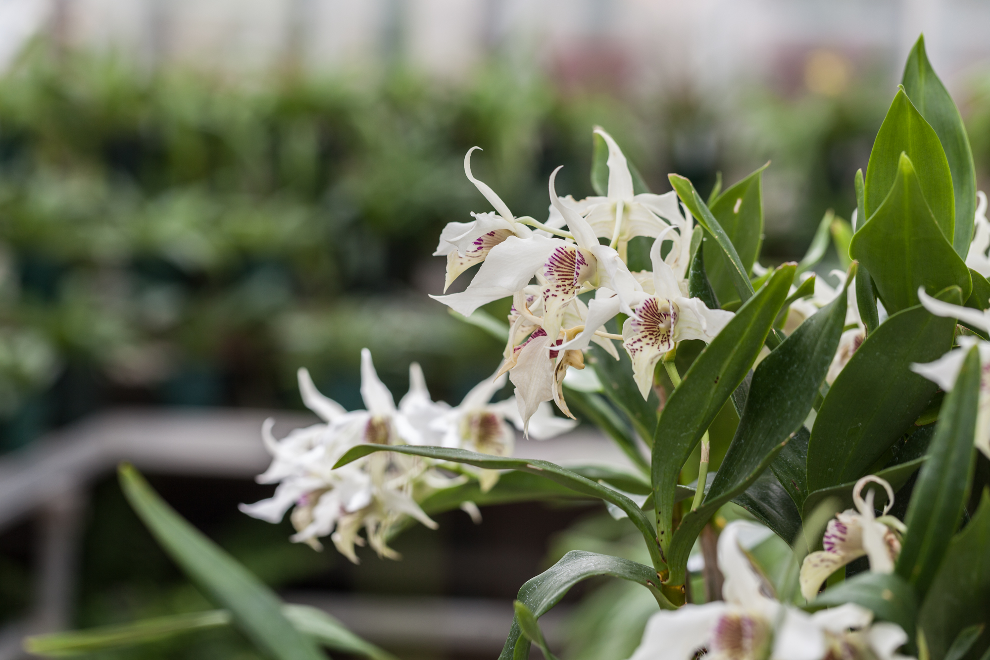 Planting-Fields-Greenhouse-Summer-Rayne-Oakes-orchids.jpg