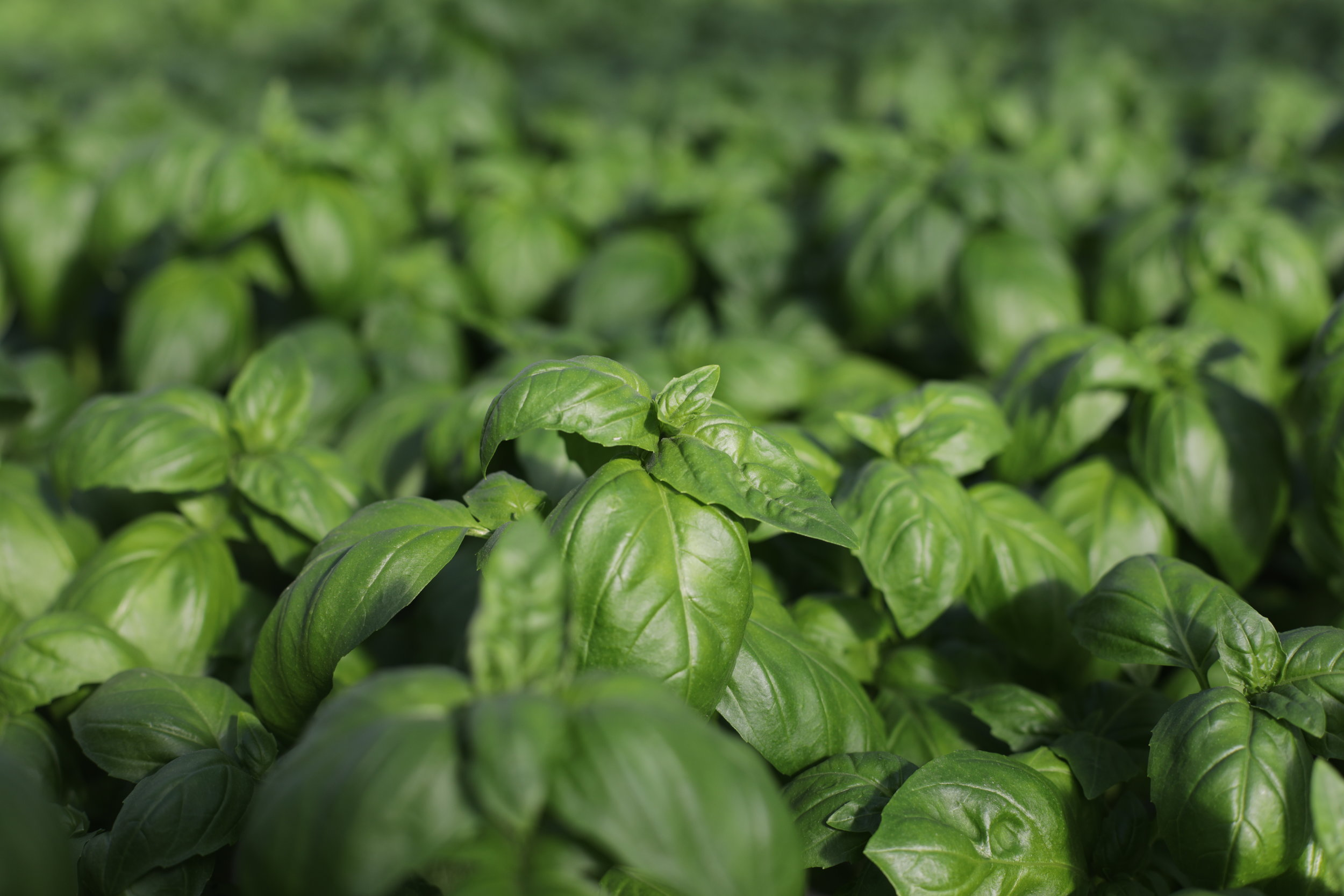 The beauty of hydroponic basil at Gotham Greens on their rooftop greenhouse farm in Greenpoint, Brooklyn.