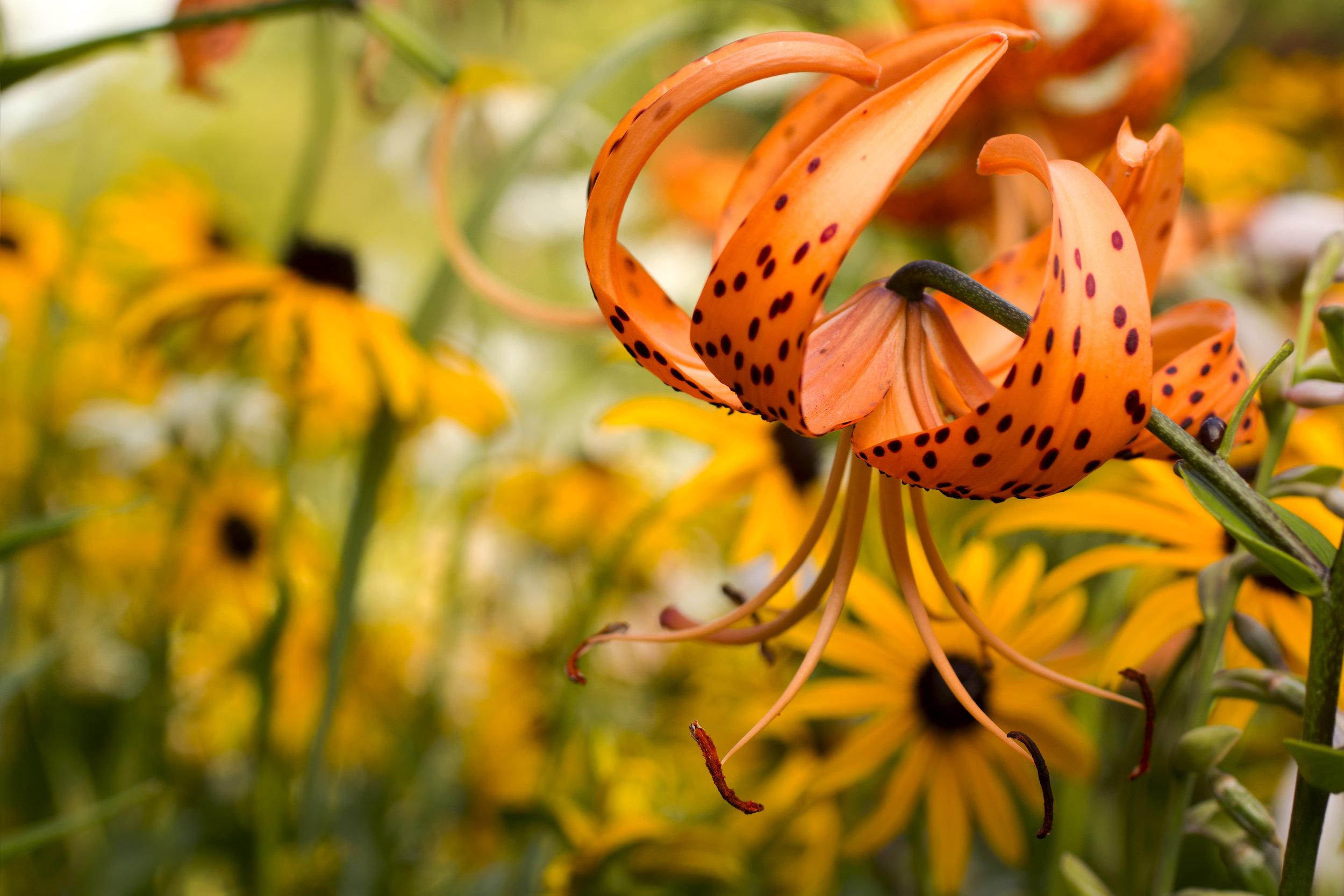 tiger-lily-flower-homestead-brooklyn..jpg