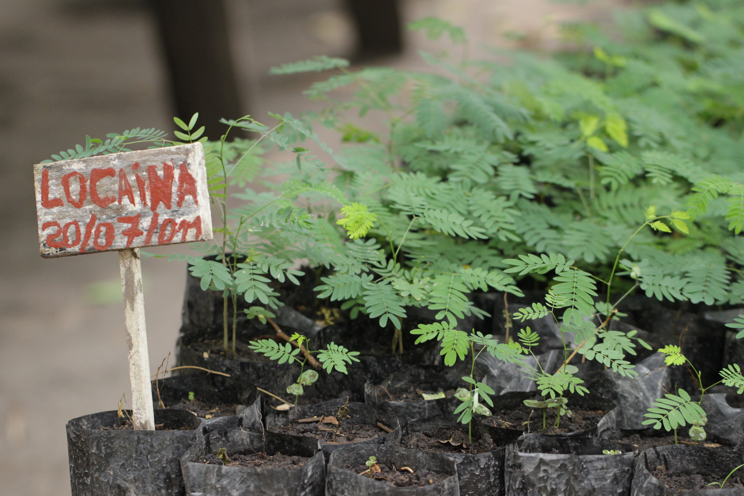 Locaina seedlings at the Mezimbite Forest Centre, prior to Hurricane Idai.