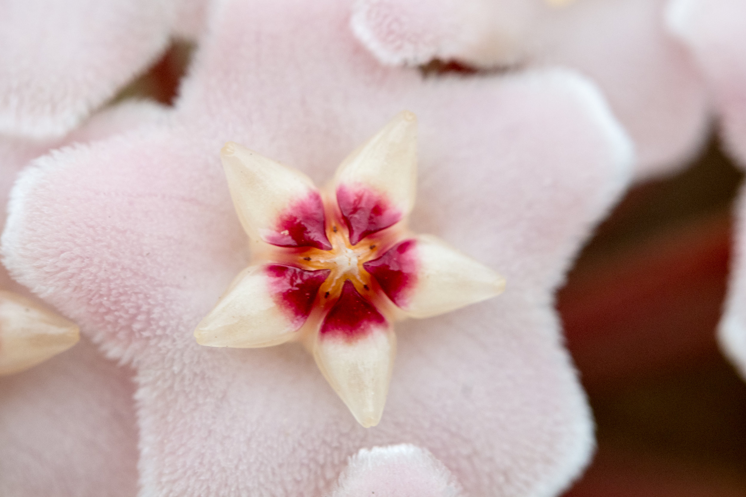 A close-up of hoya flowers, which allows you to really see their true beauty.