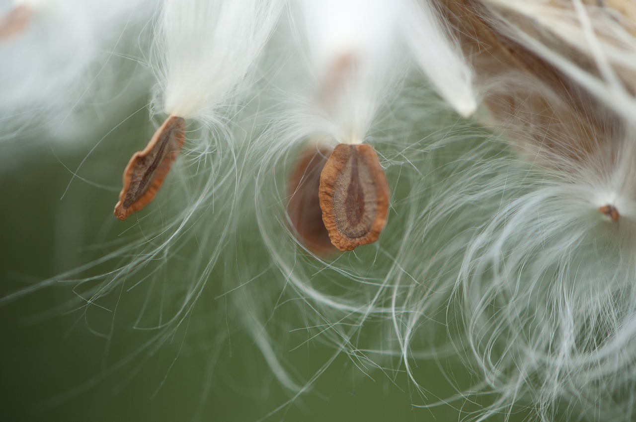 Asclepias syriaca  or common milkweed seedpod also shares some resemblance to the seedpods of hoya