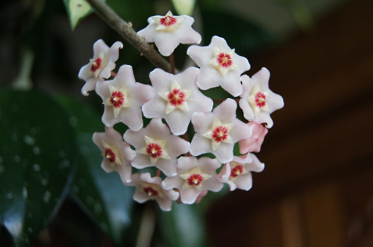Hoya carnosa  in bloom .