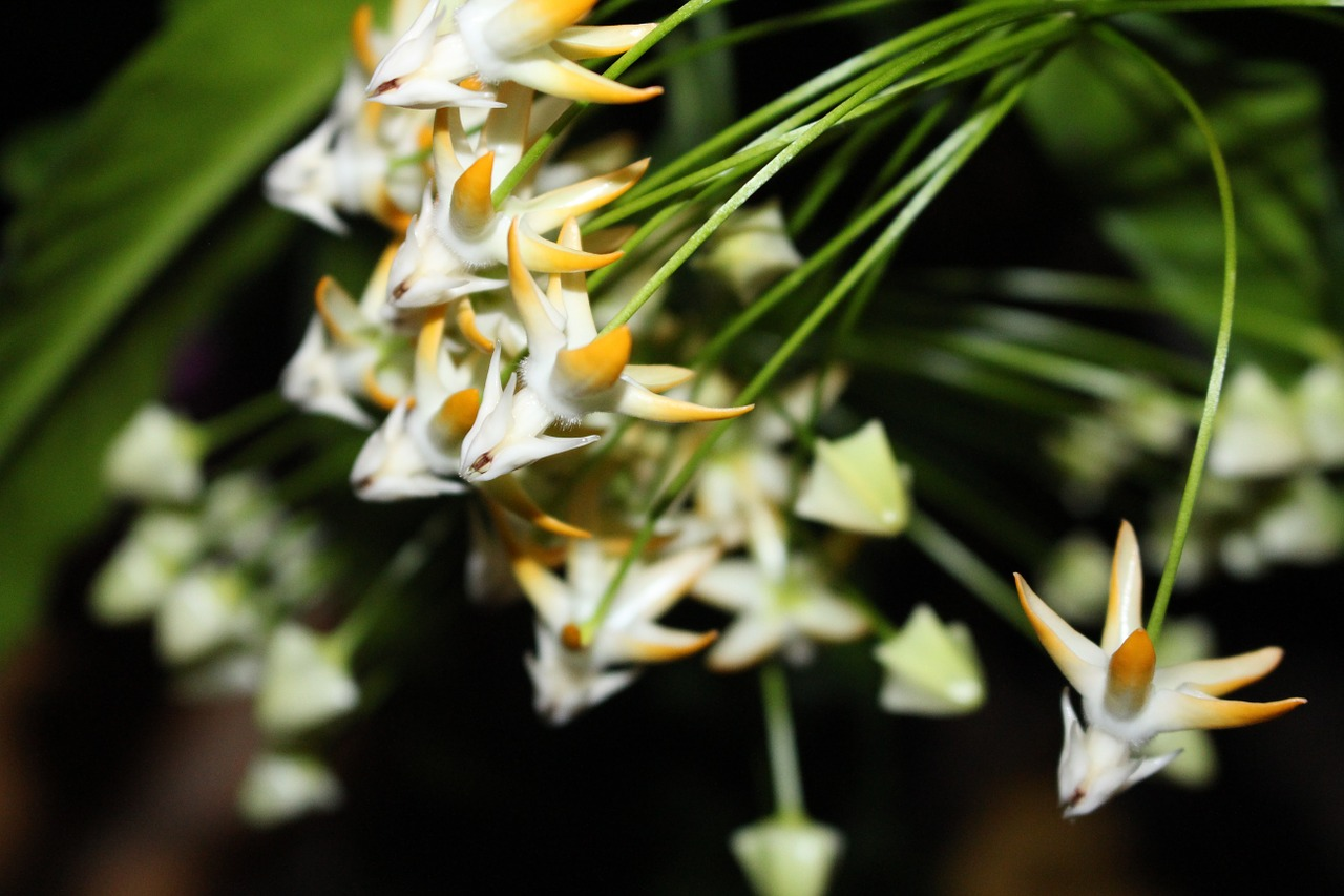 Hoya multiflora  has a reflexed corolla and a convex umbel that contains 25-40 flowers.