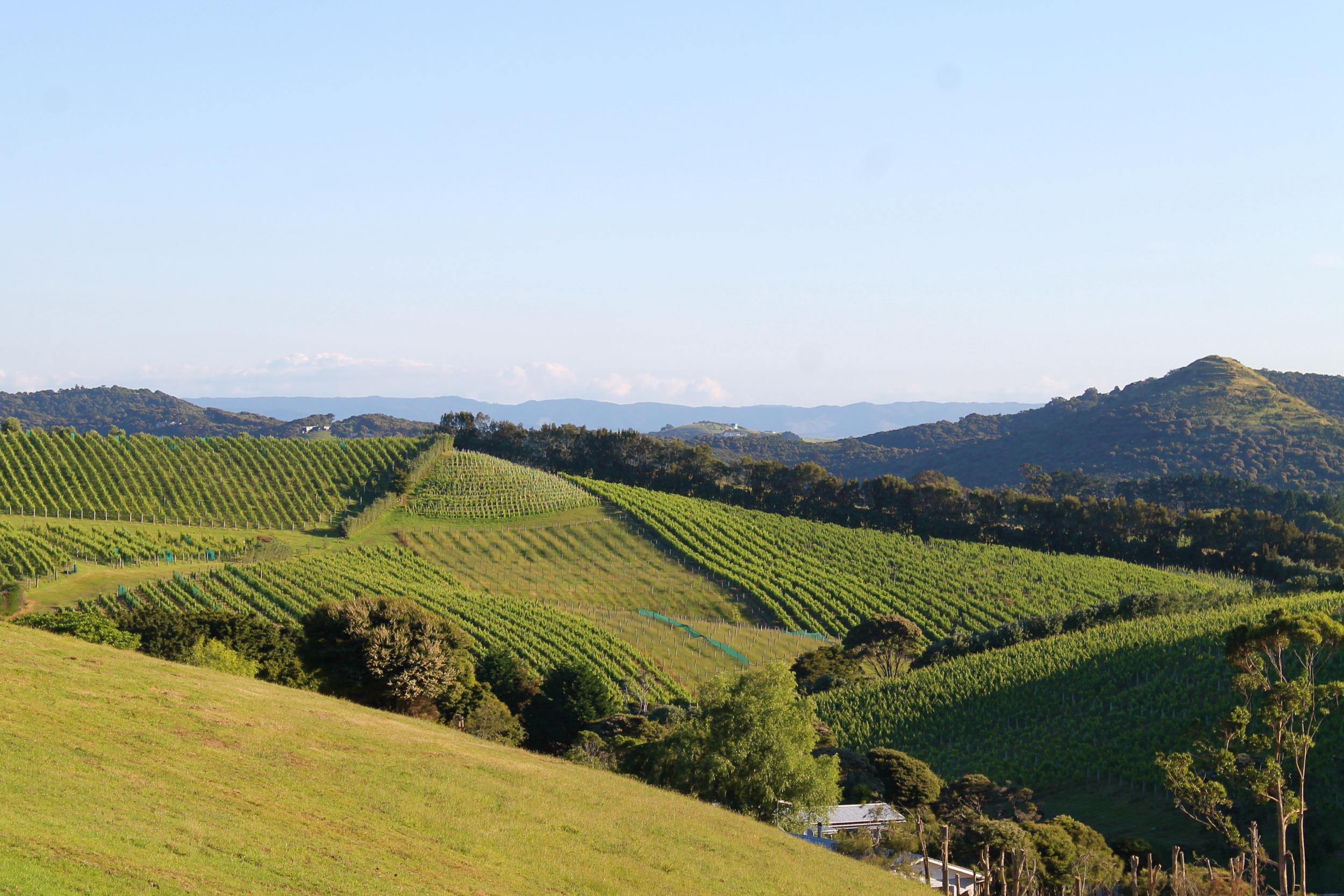 Vineyards in Waiheke.