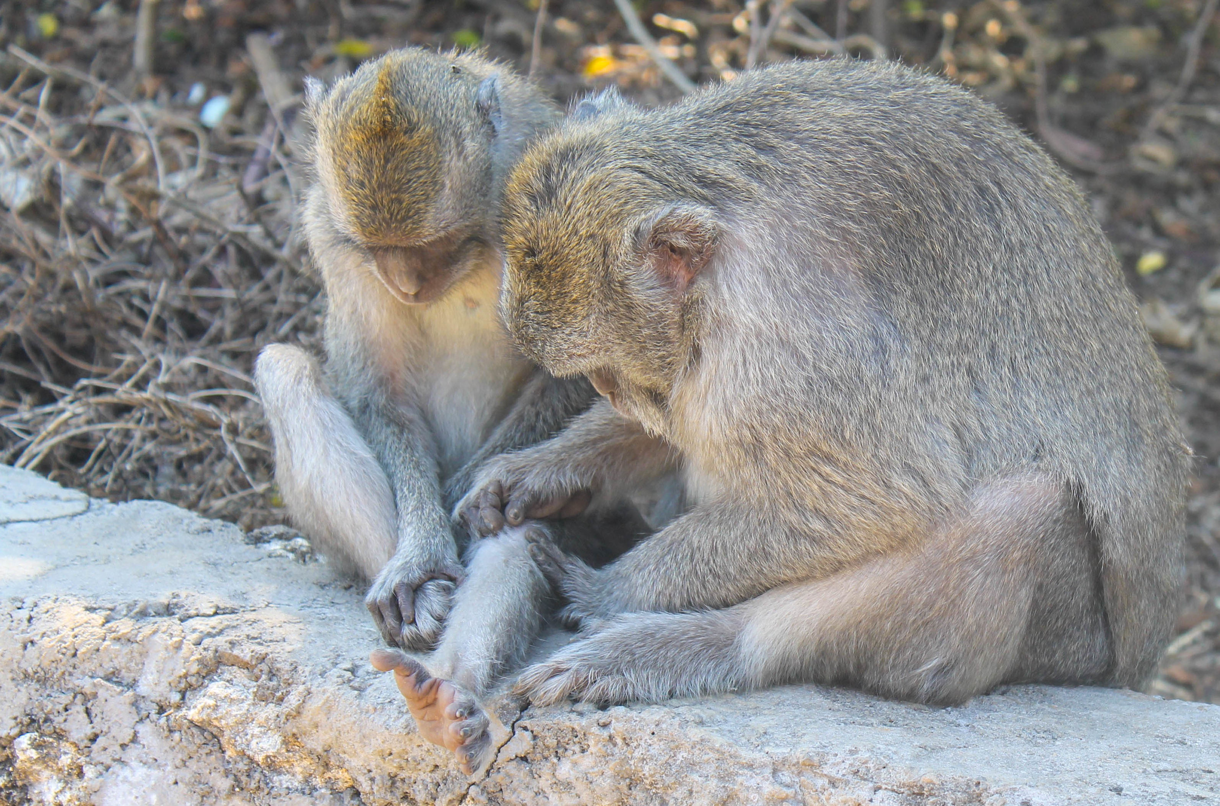 Monkeys looking after one another.