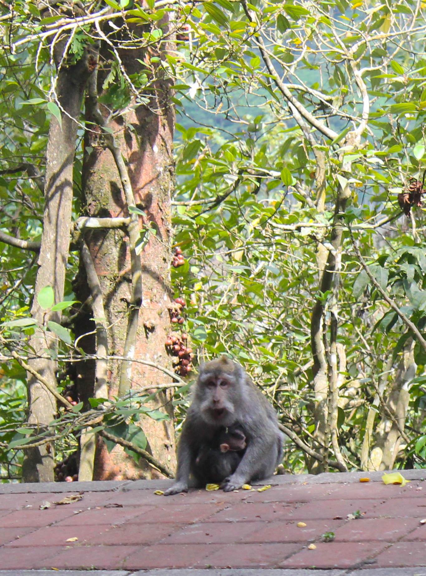 north-bali-monkey